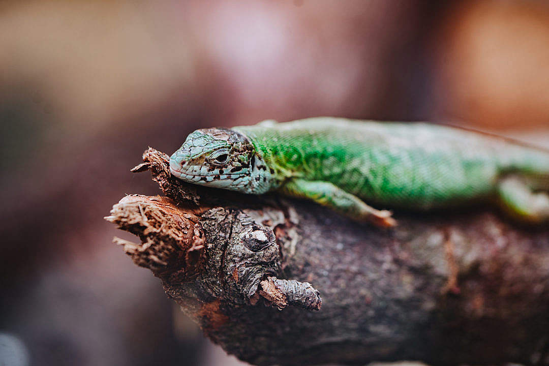 Download Green Lizard FREE Stock Photo