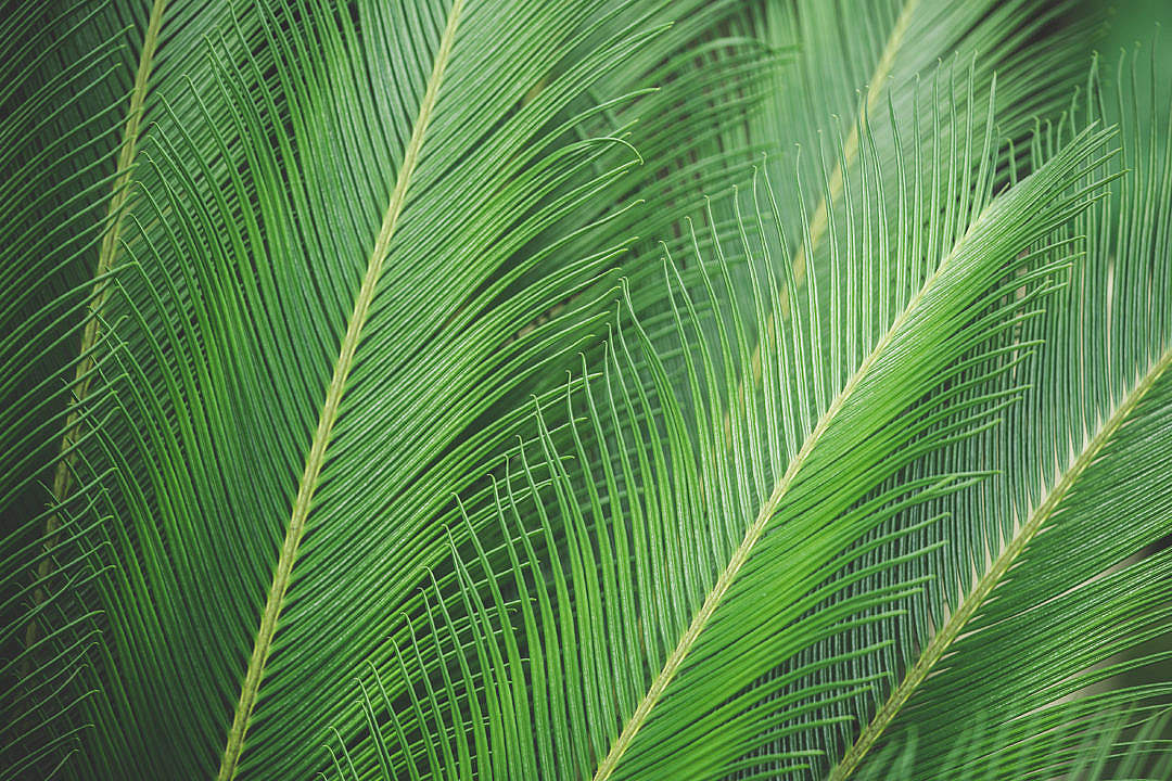 Download Green Palm Leaves FREE Stock Photo
