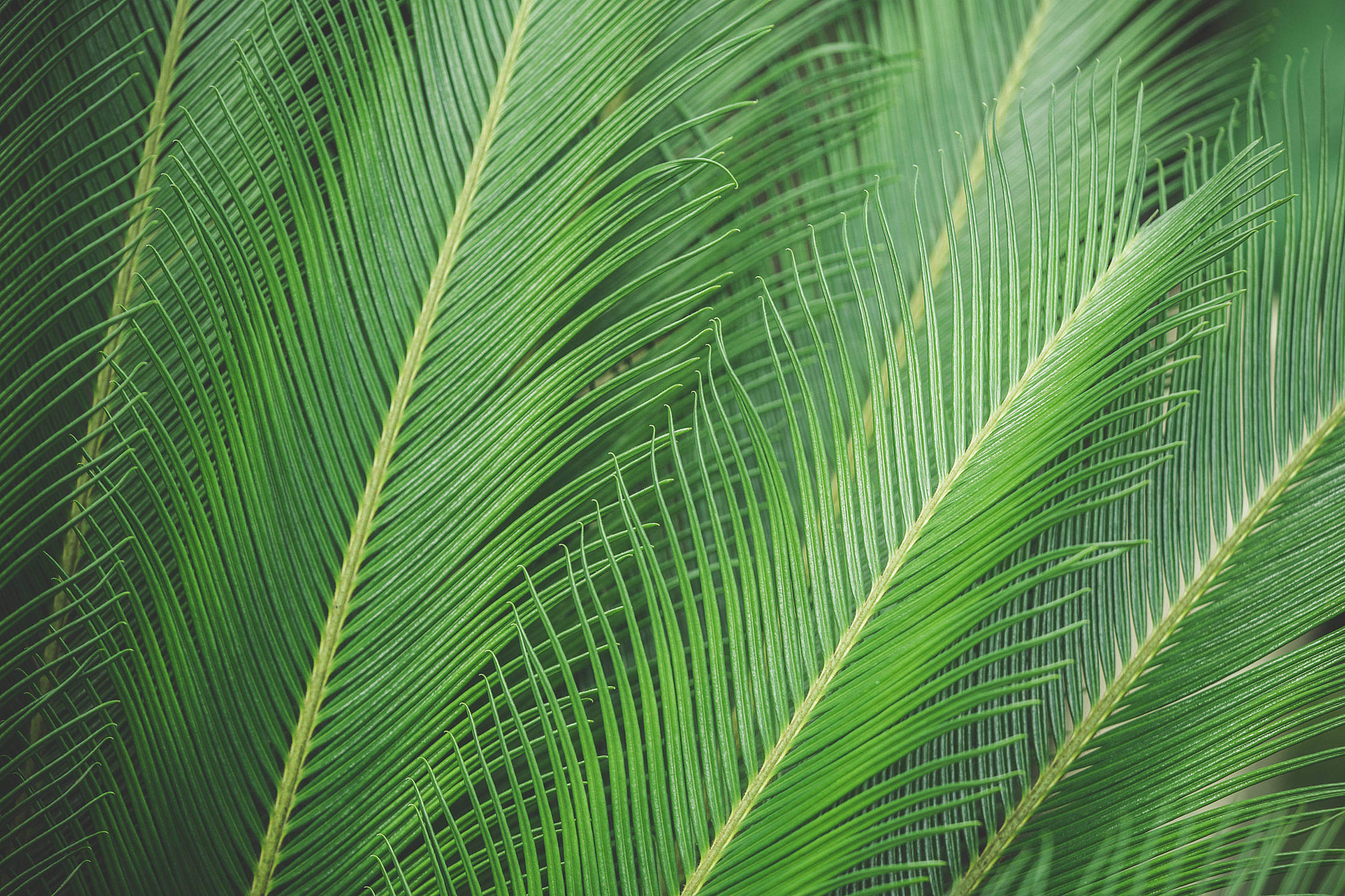 Green Palm Leaves Free Stock Photo