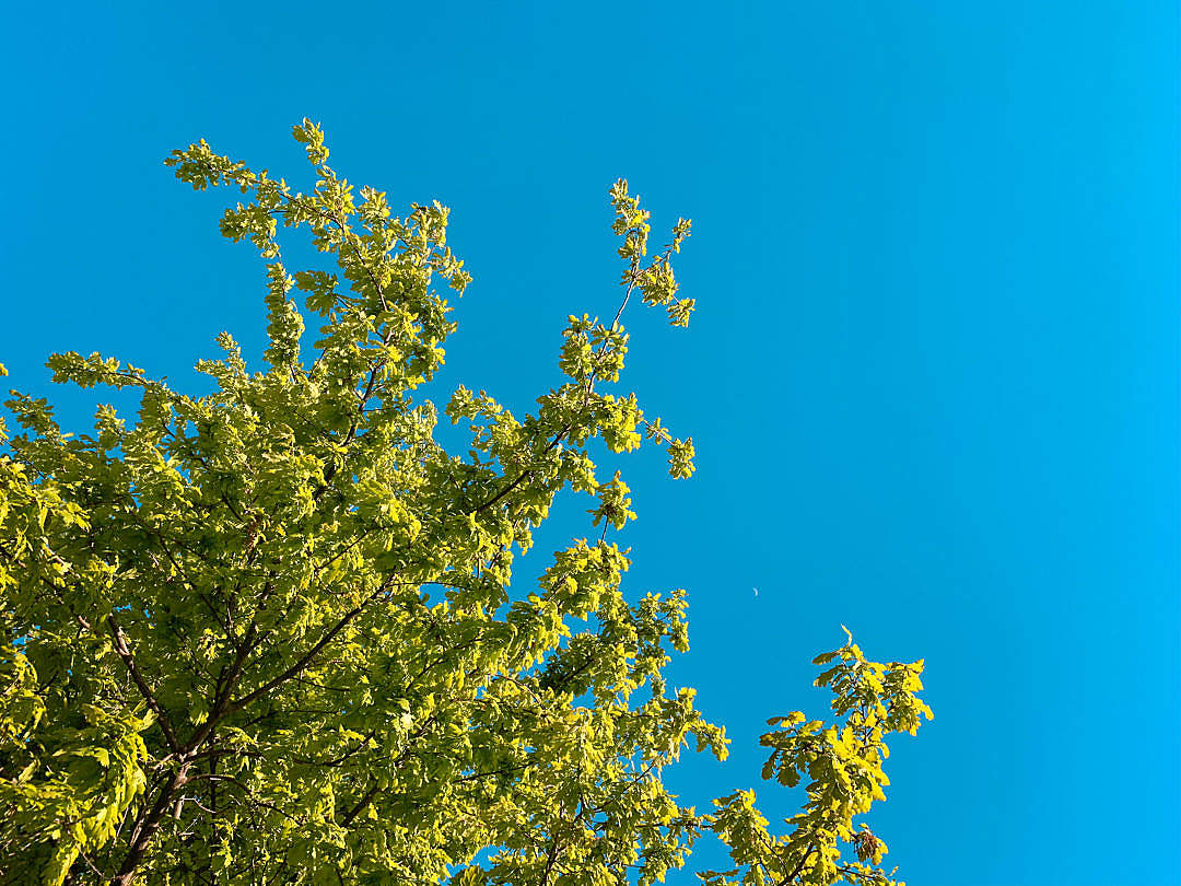 Download Green Tree Against Bright Cloudless Sky FREE Stock Photo