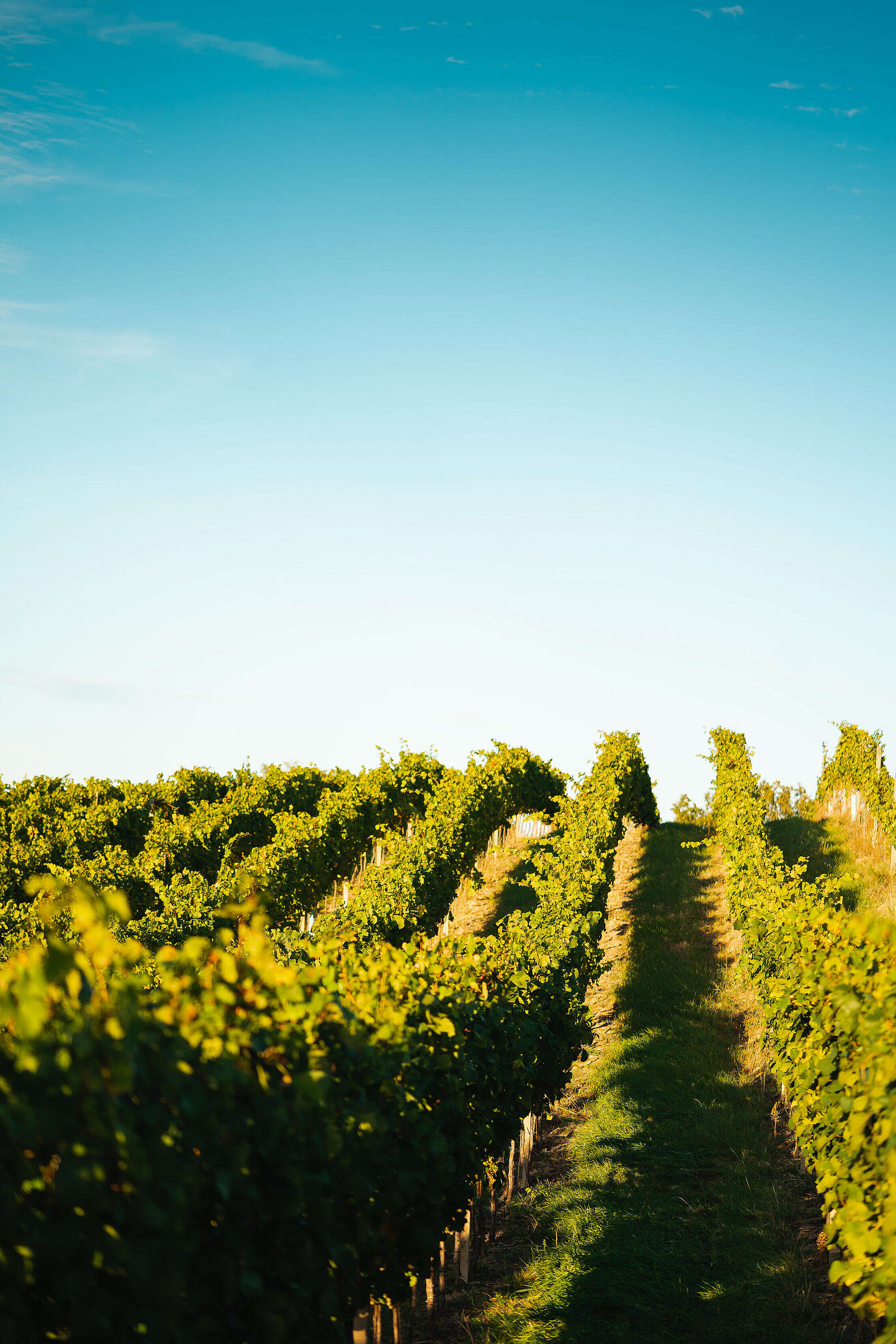 Green Vineyard Rows in South Moravia Free Stock Photo