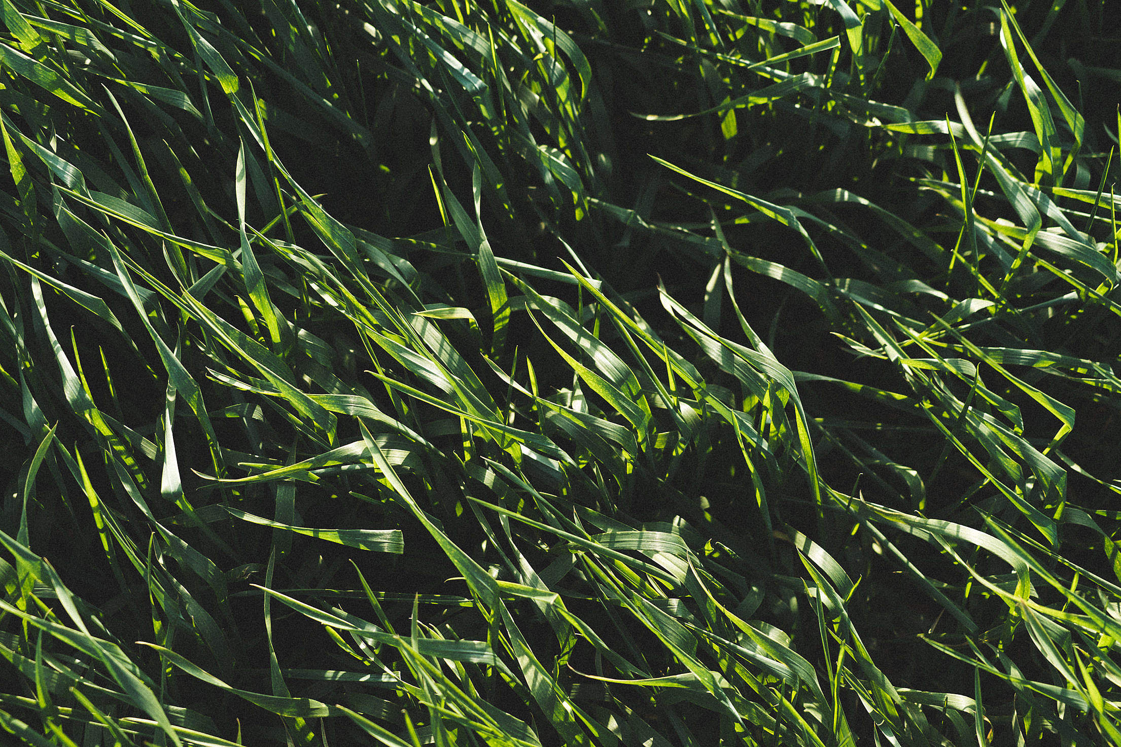 Green Wheat Field Pattern Background Free Stock Photo