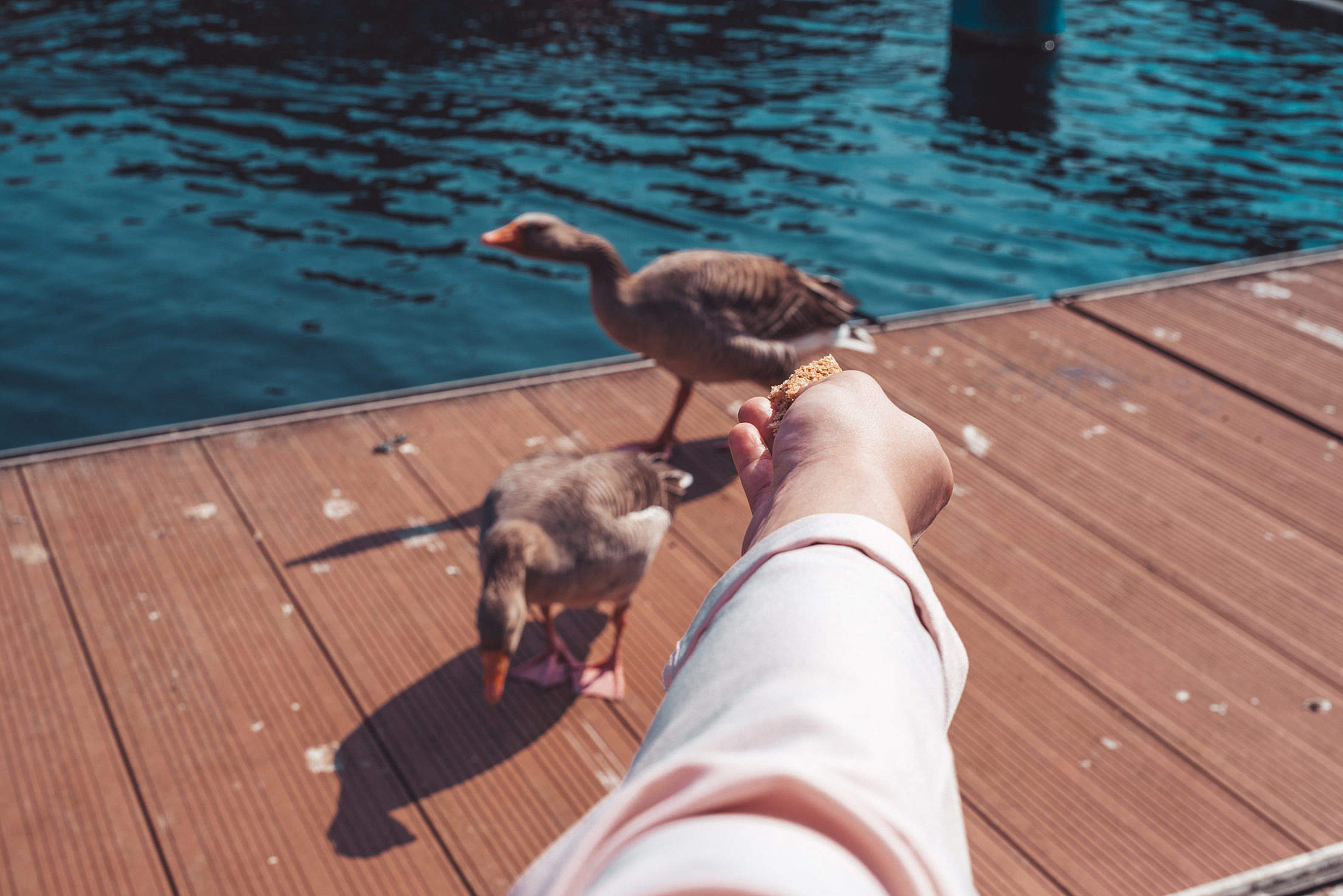 Hand of Woman Feeding Geese Free Stock Photo