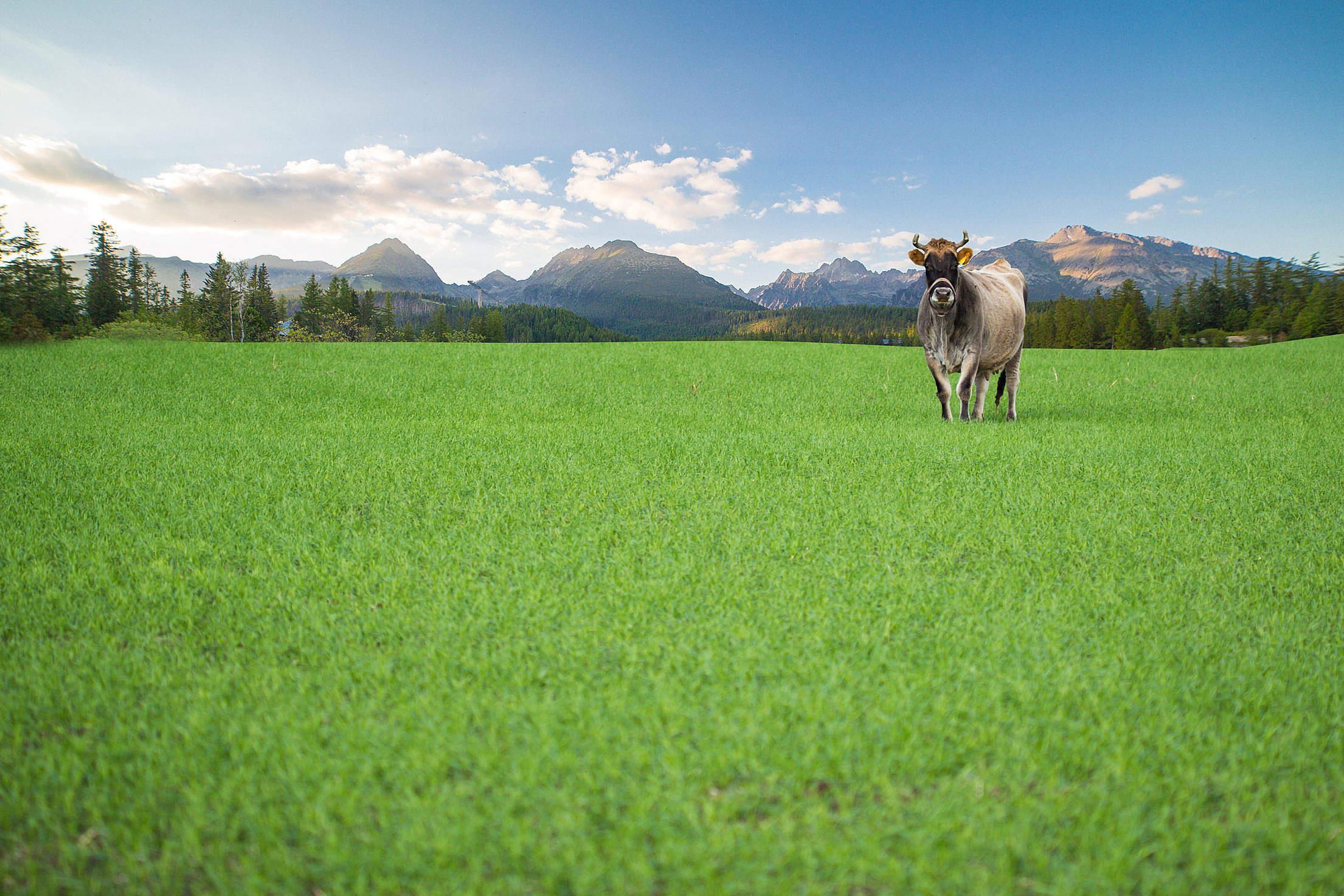 Happy Cow from Organic Farm Free Range Free Stock Photo