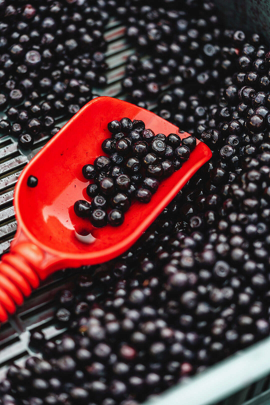 Download Heap of Blueberries in The Shovel FREE Stock Photo