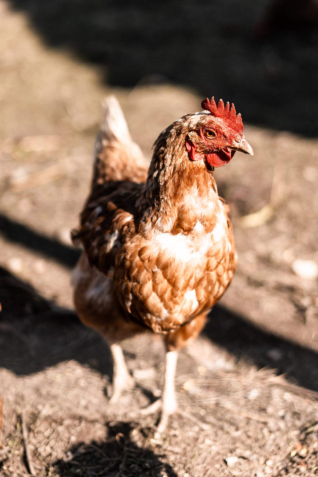 Download Hen Walking in Enclosure FREE Stock Photo