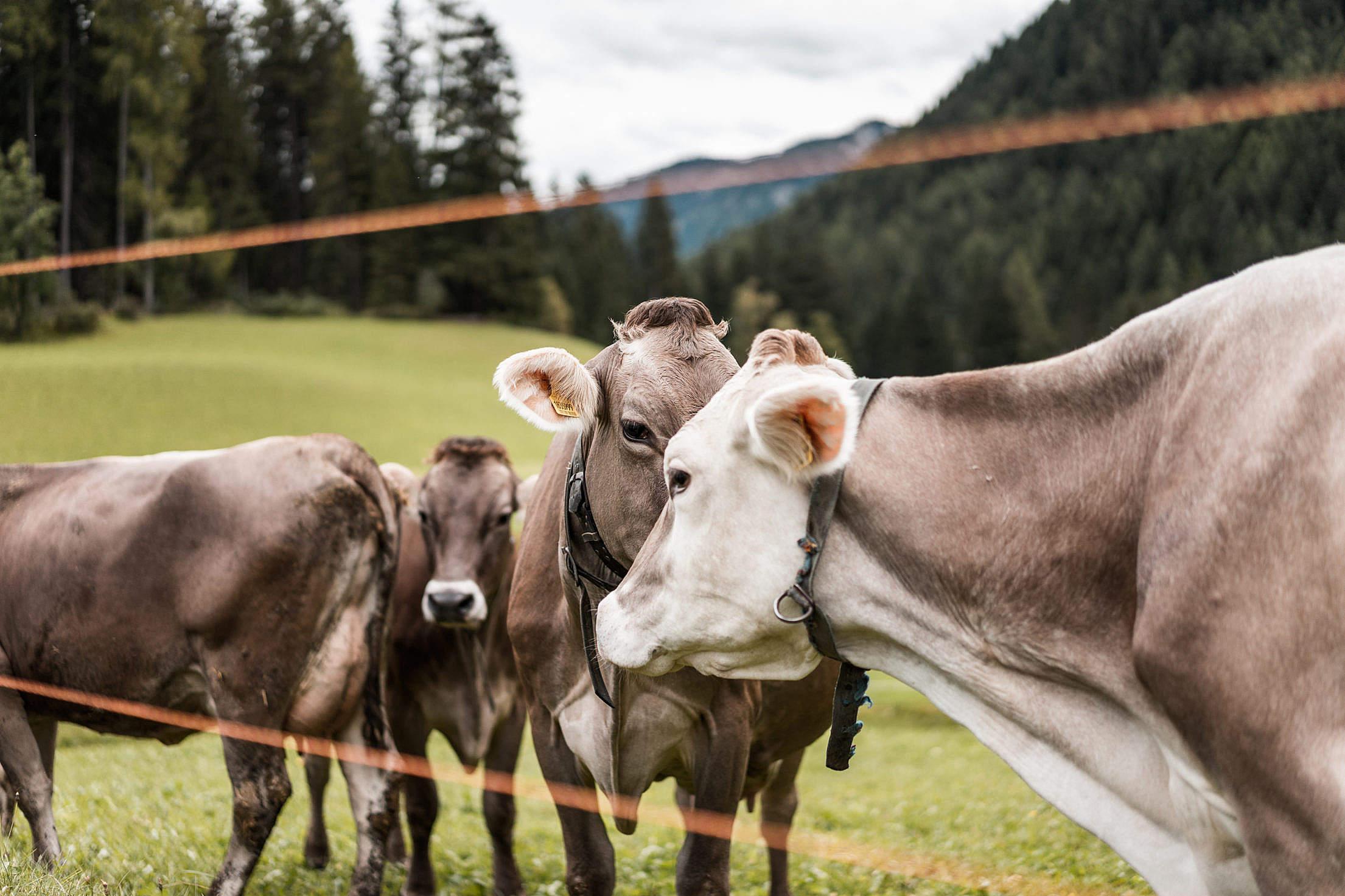 Herd of Cows Free Stock Photo