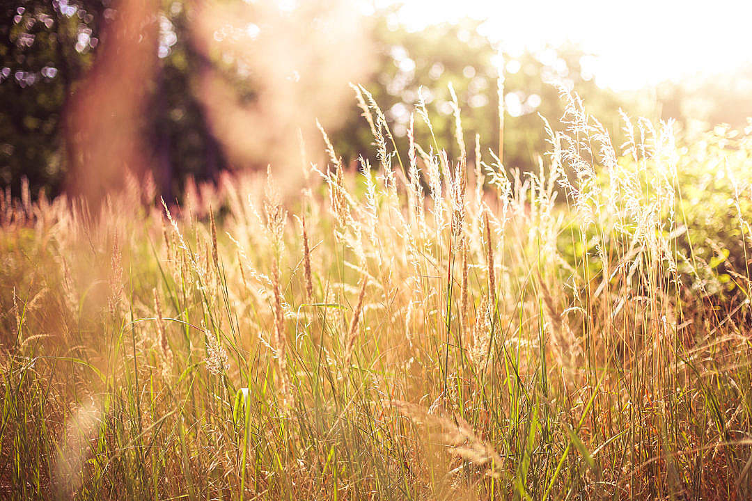 Download High Grass Against Sun FREE Stock Photo