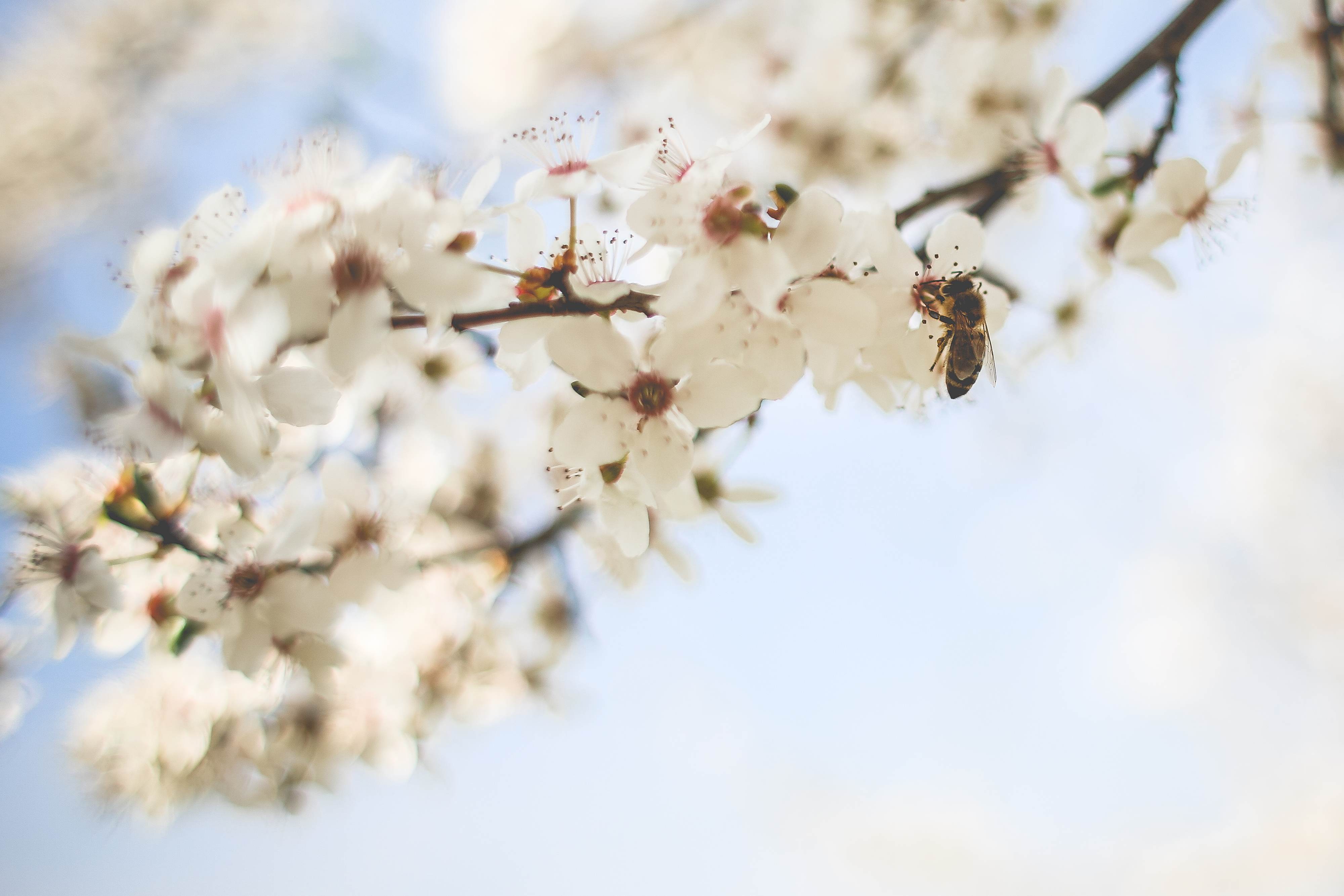Download Honey Bee Pollinating an Apple-Tree FREE Stock Photo