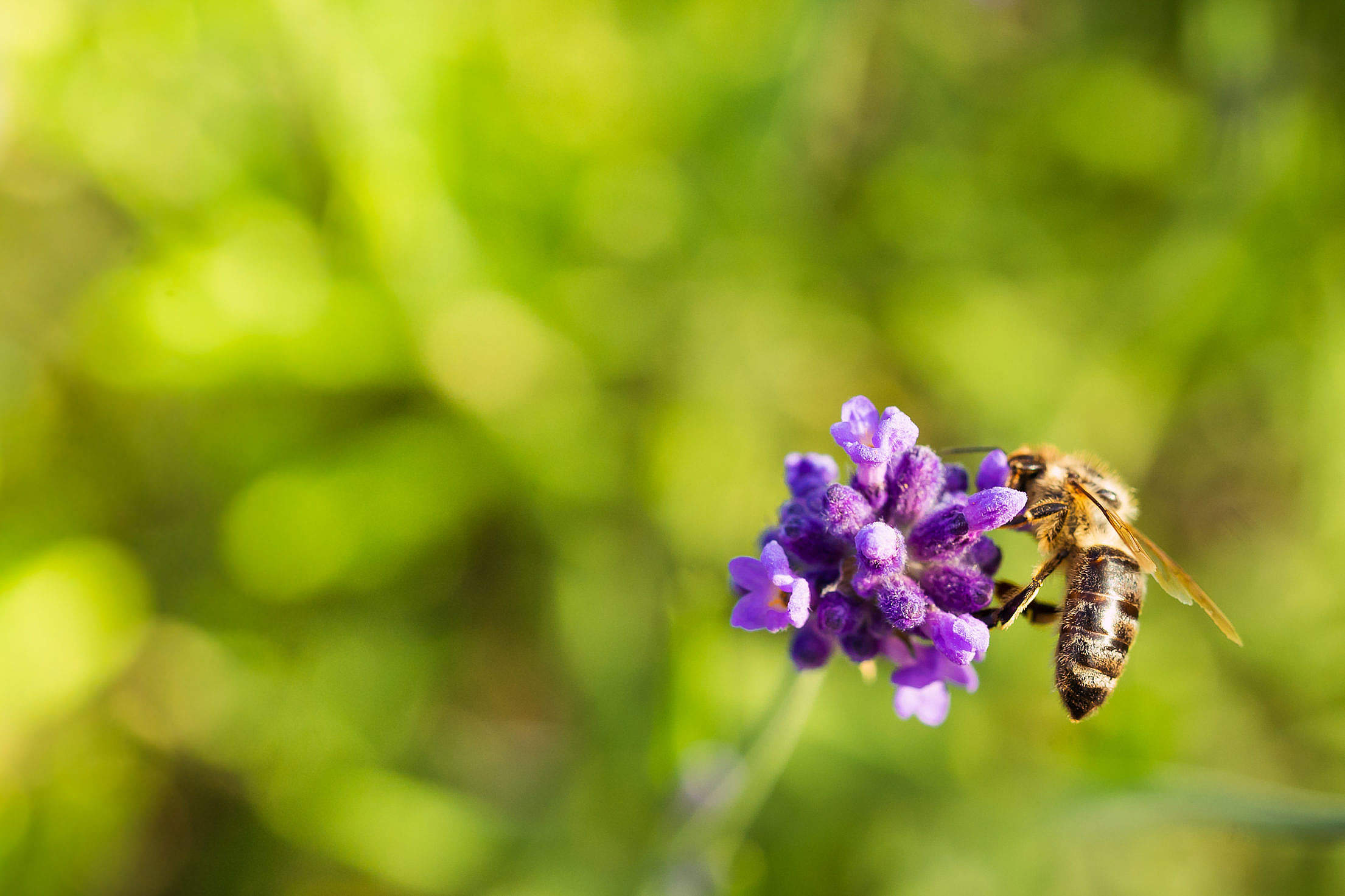 Honey Bee Working Alone Free Stock Photo