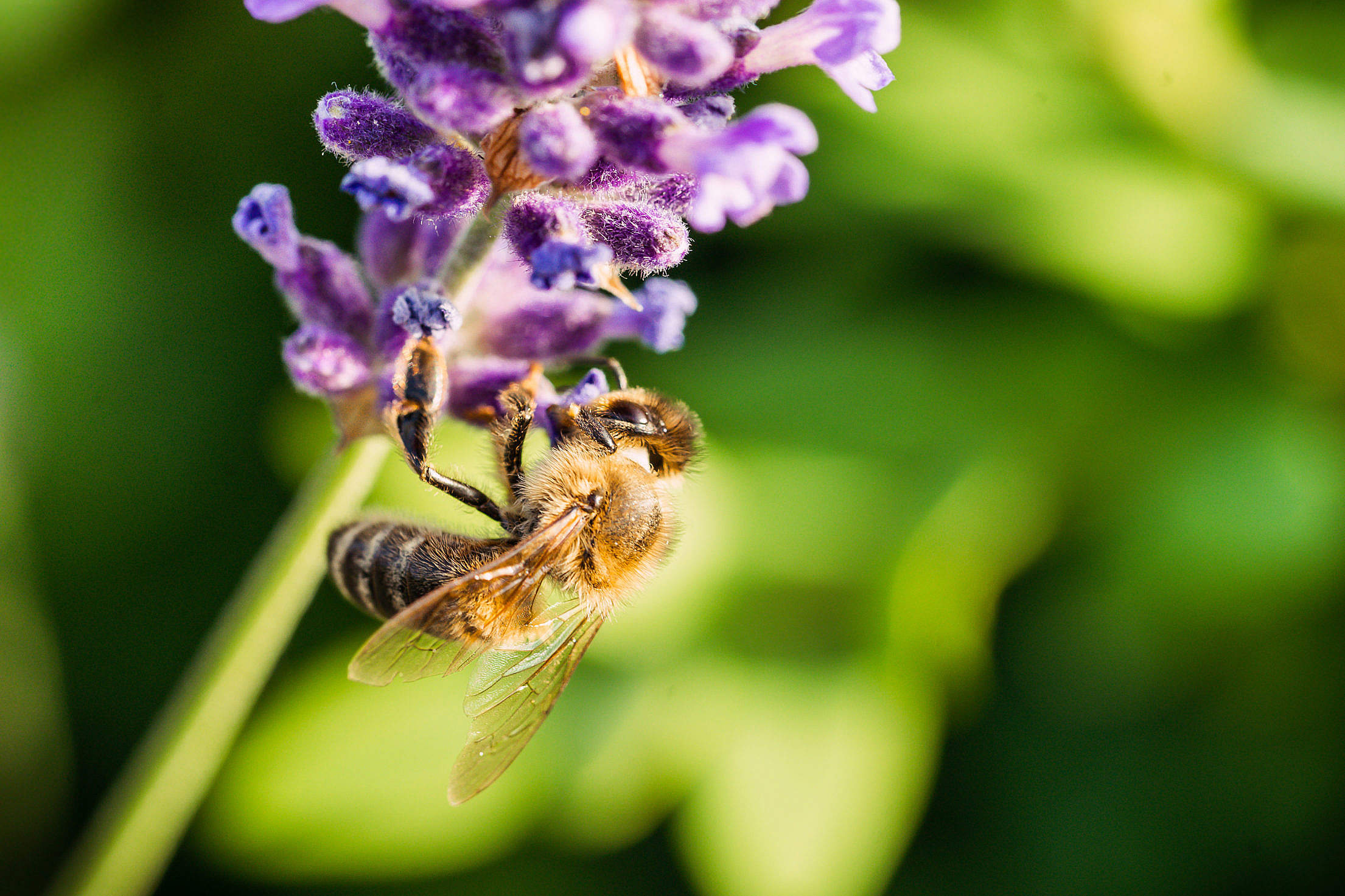 Honey Bee Working on a Lavender Flower Free Stock Photo