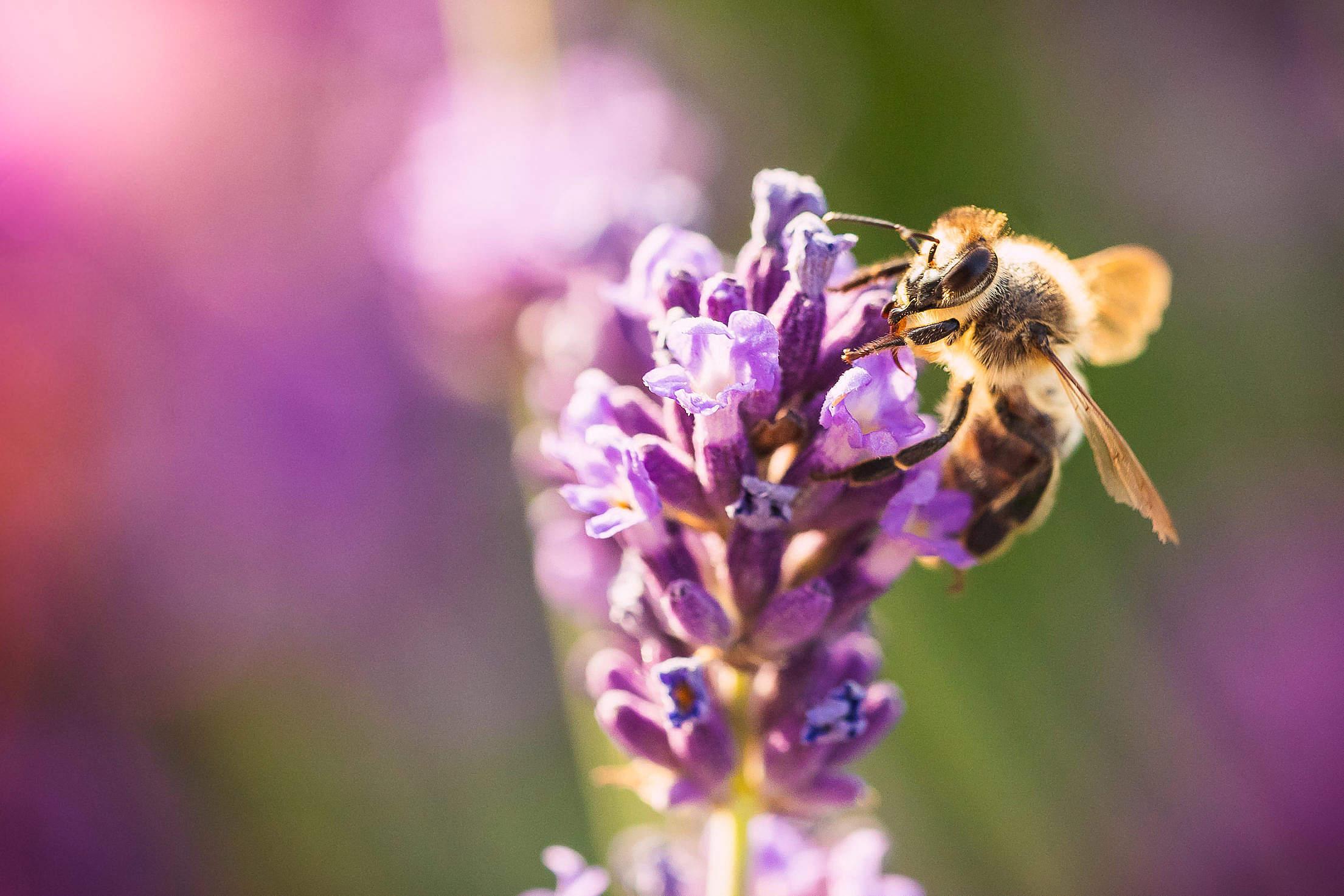 Honeybee Macro Free Stock Photo