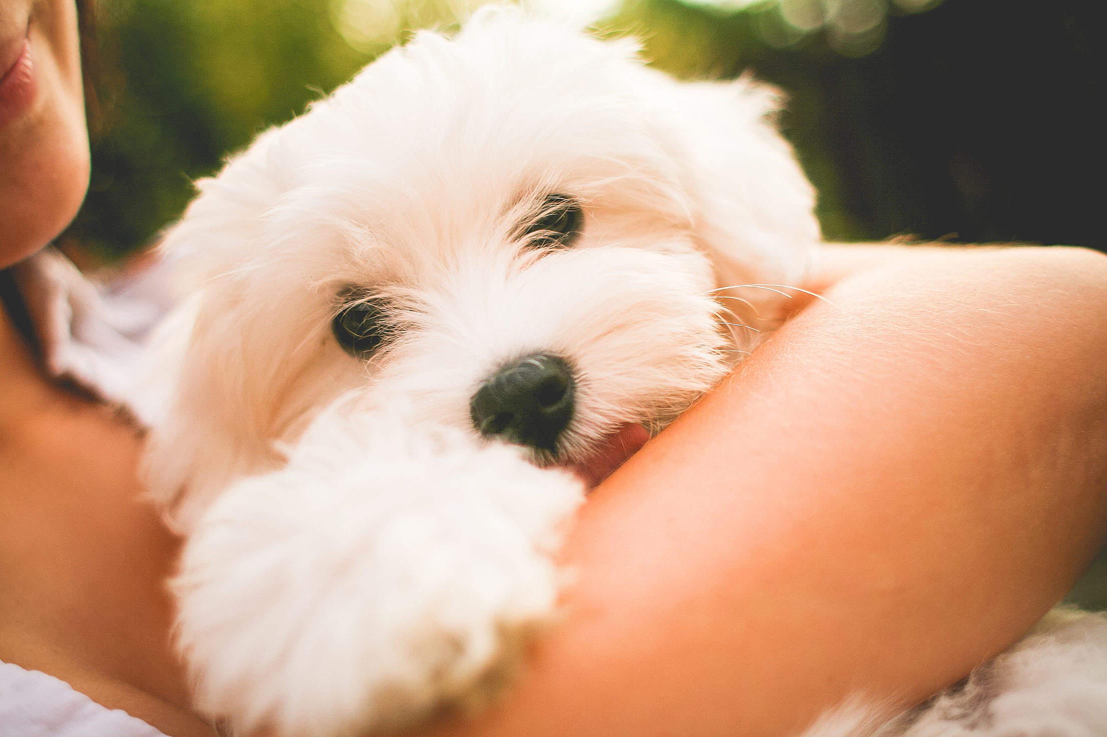 Hugging Maltese Dog Puppy Free Stock Photo