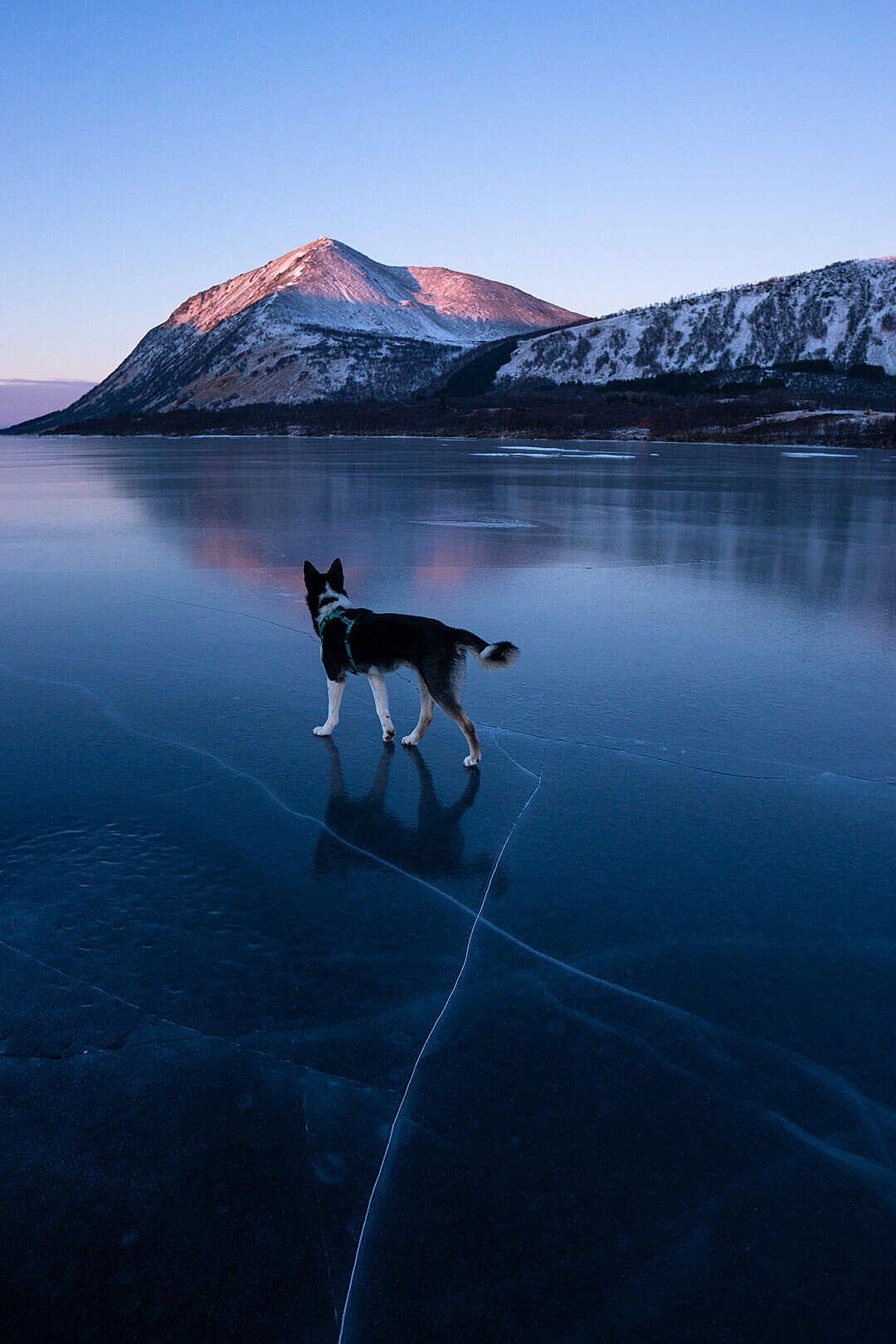 Download Husky Dog on a Frozen Lake FREE Stock Photo