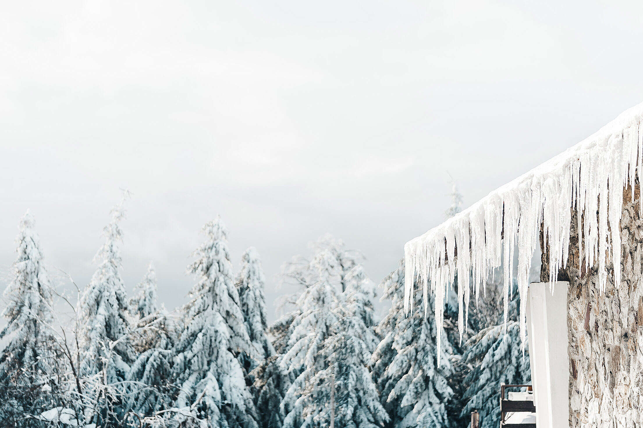 Icicles and White Snowy Forest Free Stock Photo