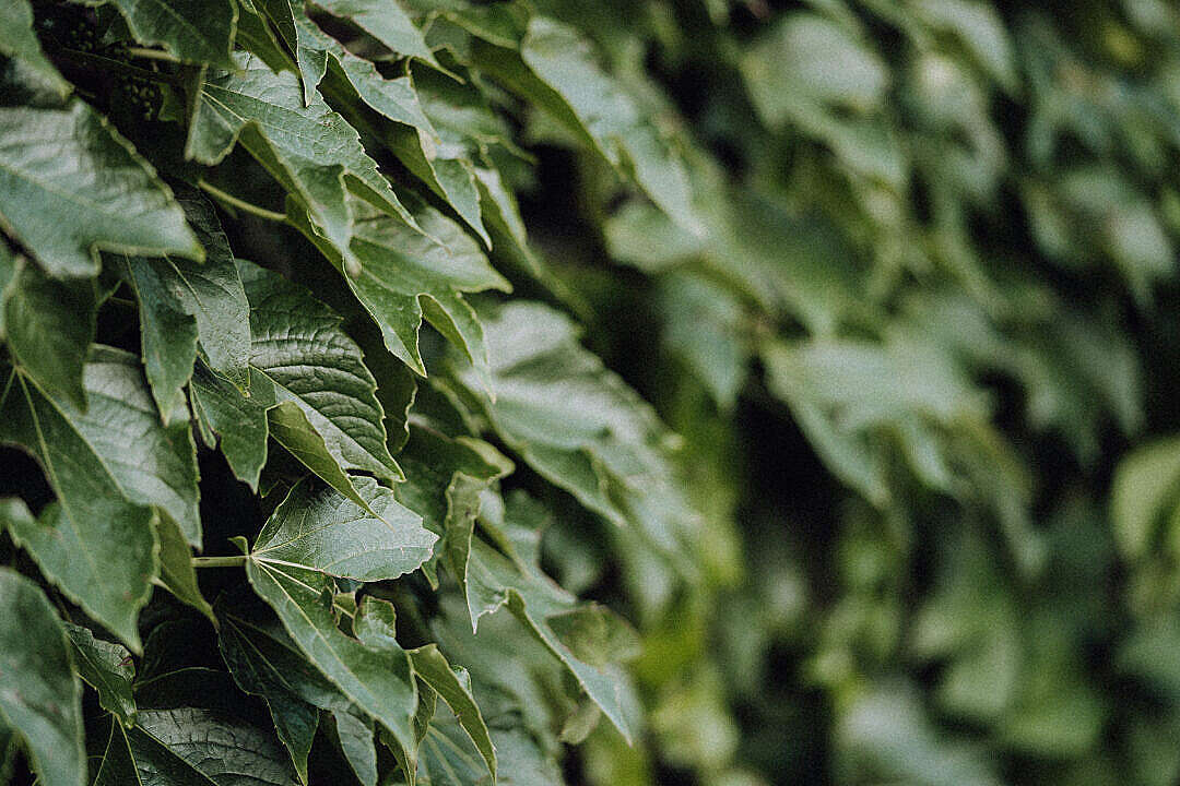 Download Ivy Leaves Close Up FREE Stock Photo