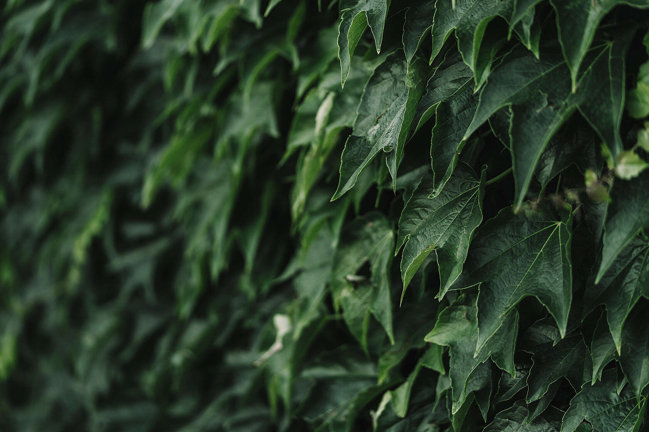 Ivy Leaves Free Stock Photo
