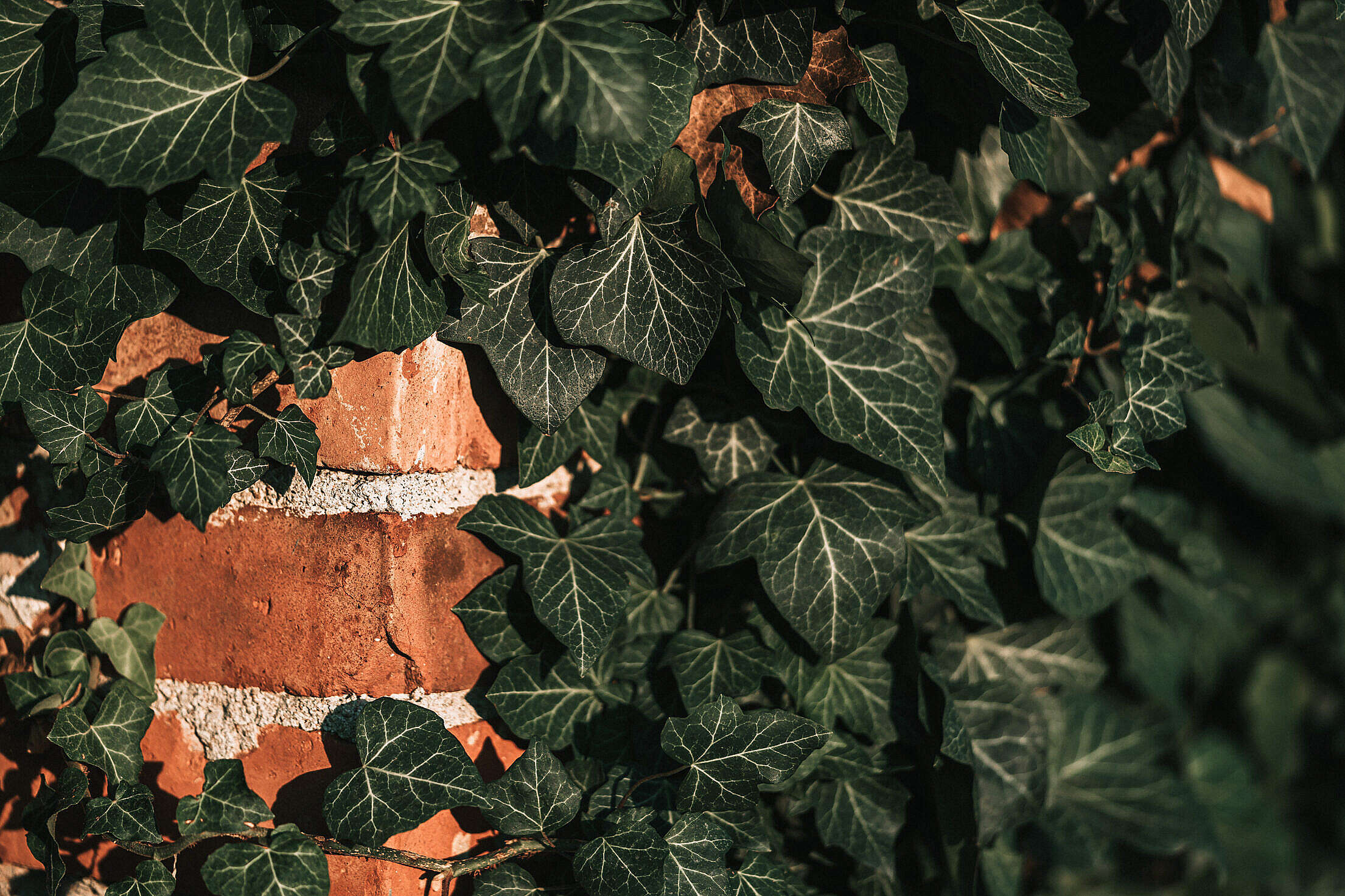 Ivy on a Brick Wall Free Stock Photo