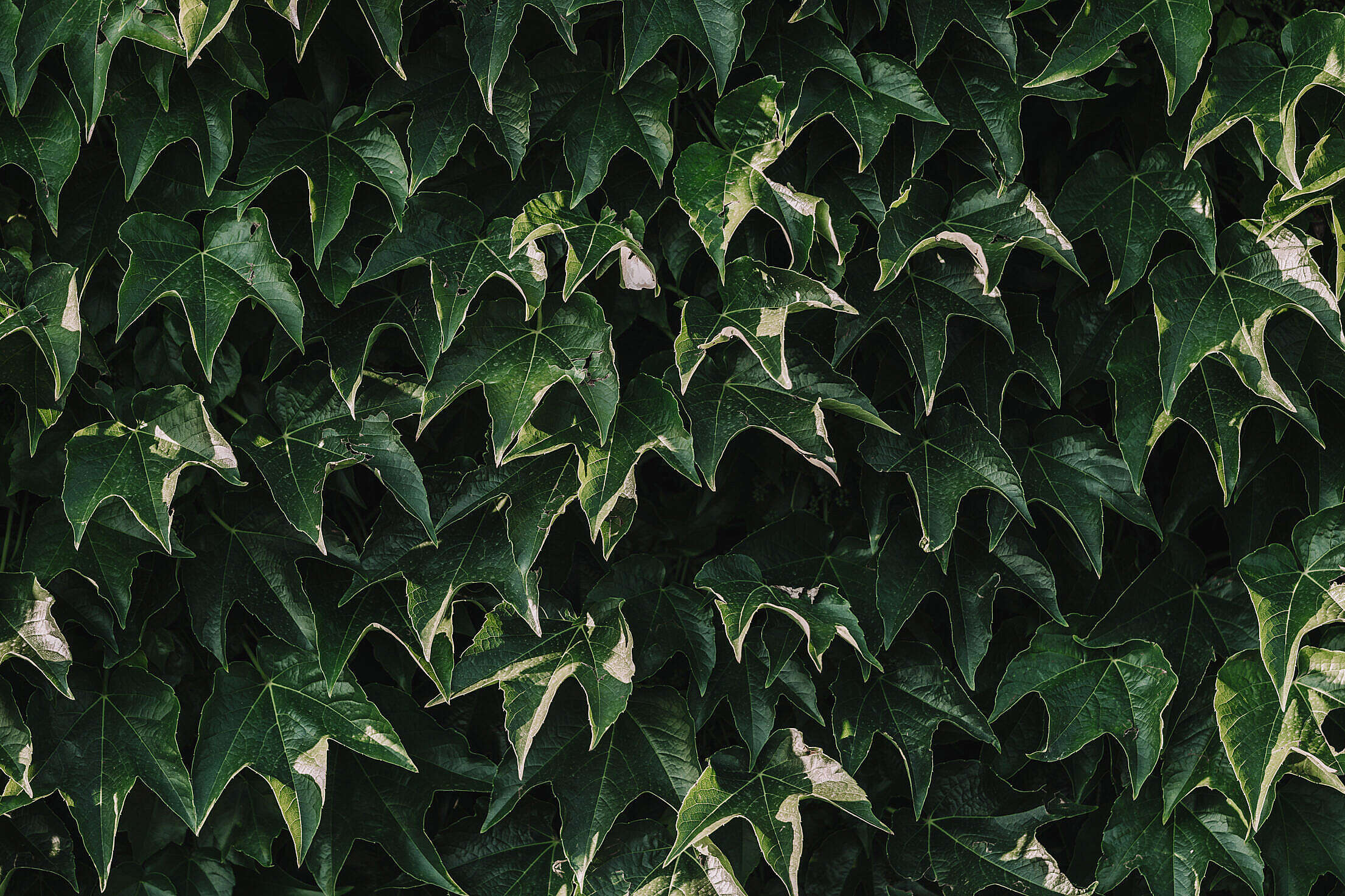 Ivy on The Wall Free Stock Photo