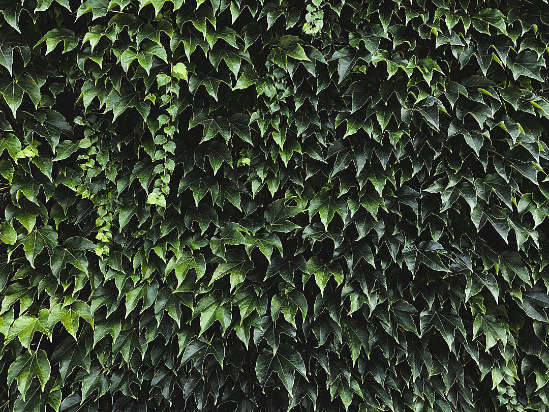 Download Ivy Texture FREE Stock Photo