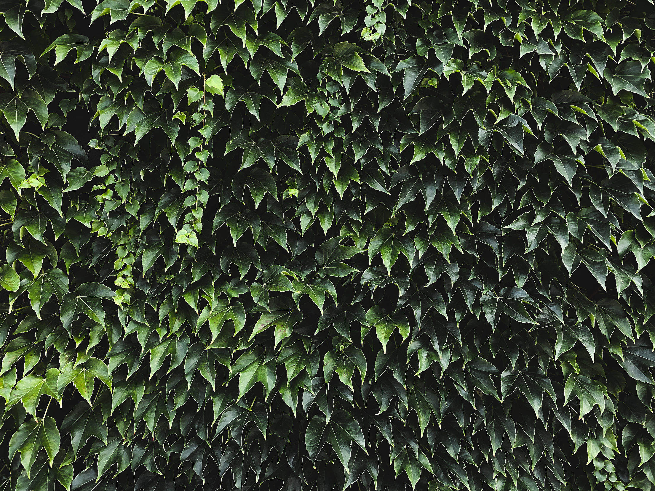 Ivy Texture Free Stock Photo