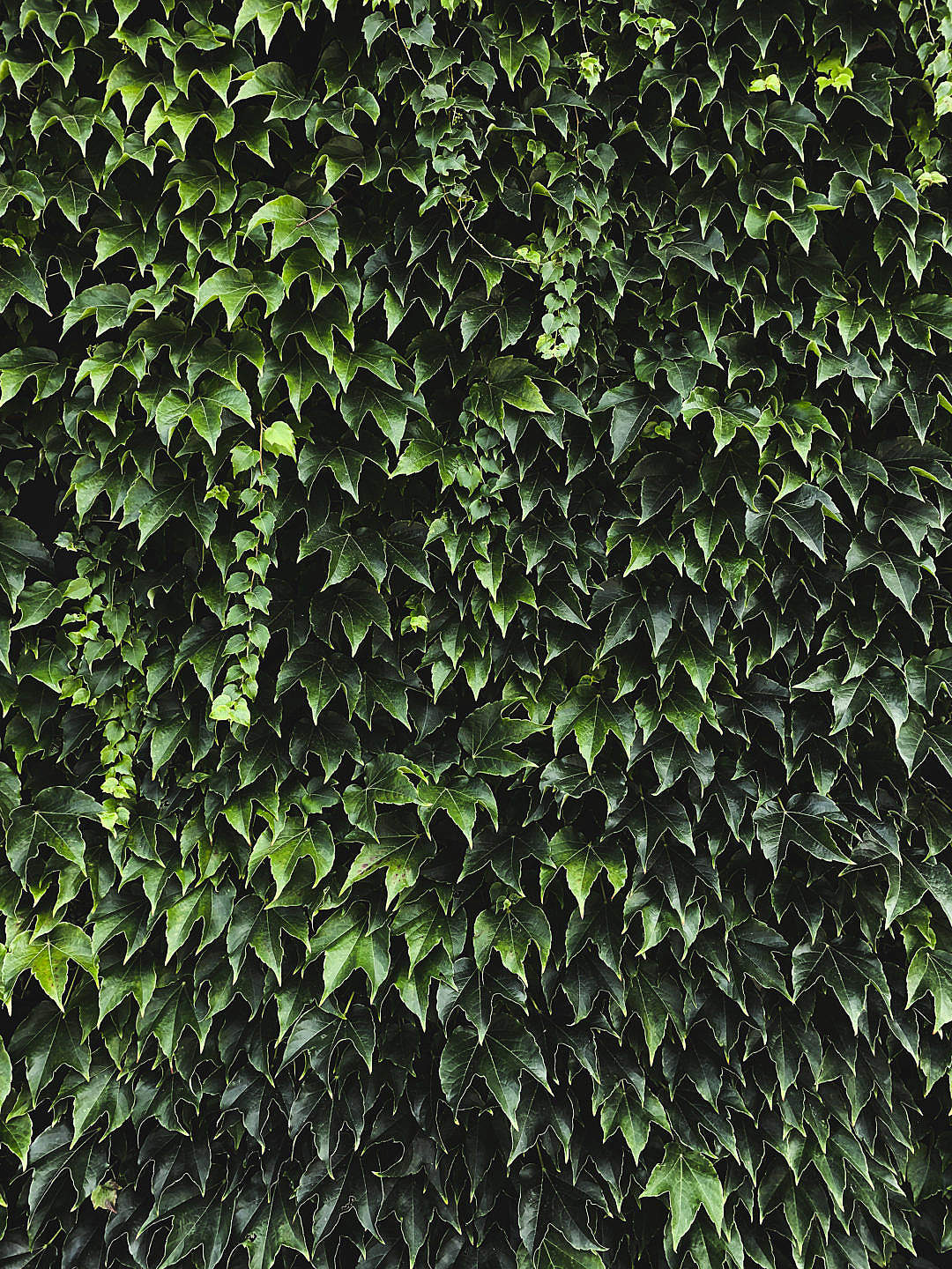 Download Ivy Texture Background FREE Stock Photo