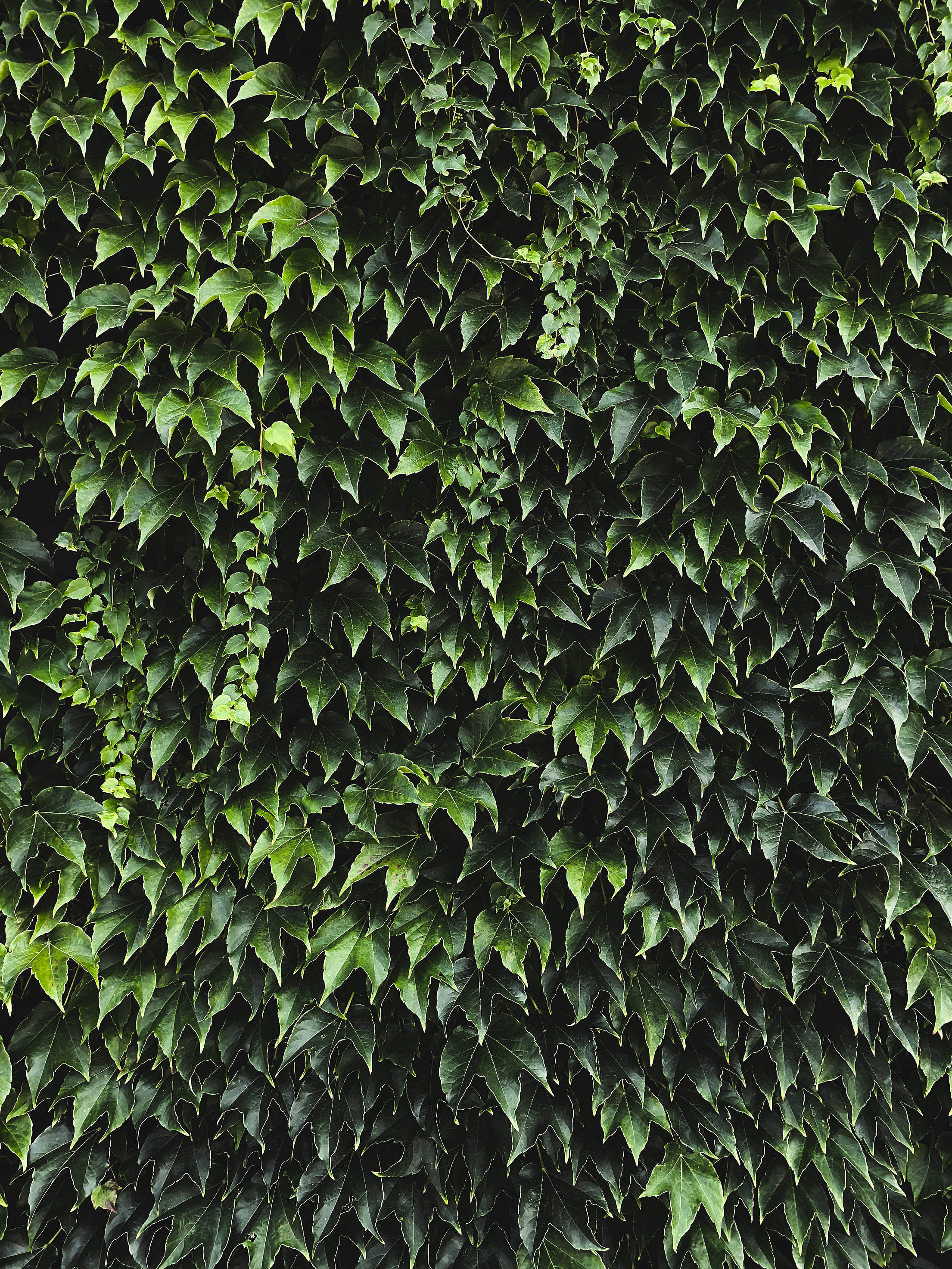 Ivy Texture Background Free Photo
