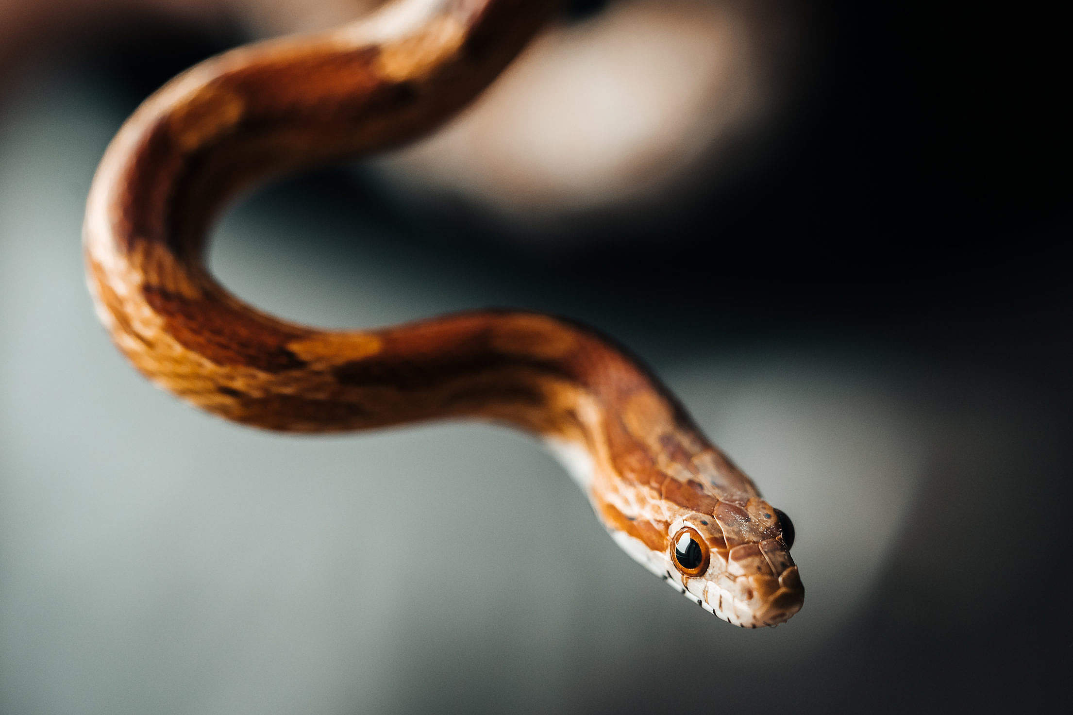 Little Corn Snake Portrait Free Photo