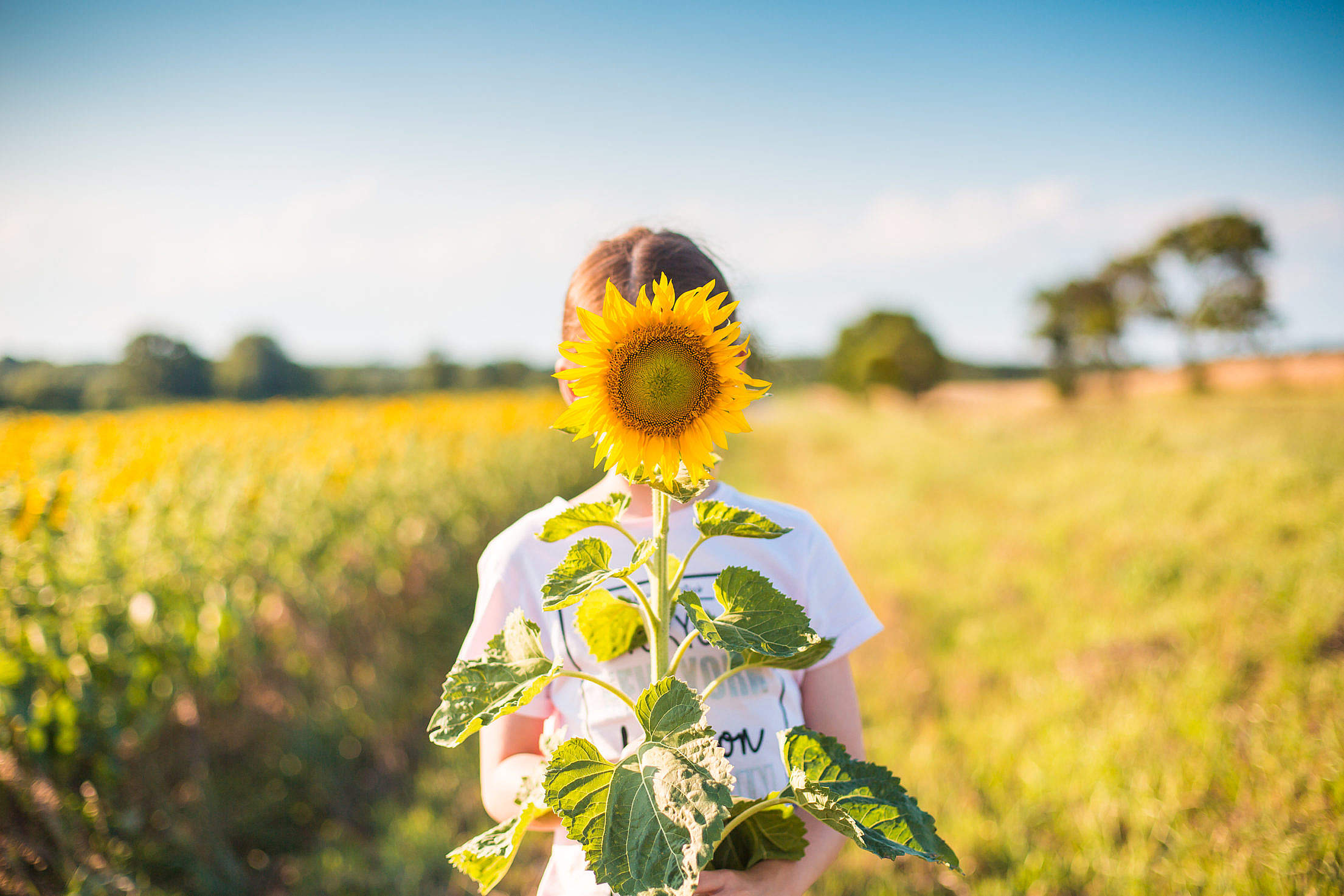 Little Girl with Sunflower in a Sunflower Field Free Stock Photo