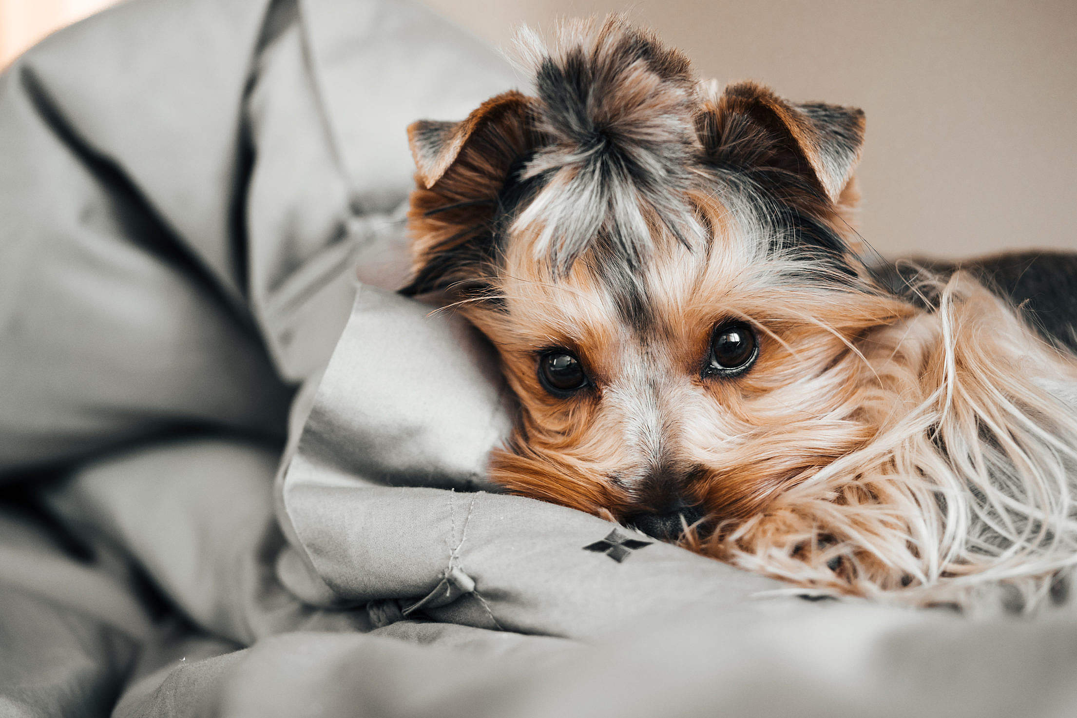 Download Little Jessie The Dog Resting in Bed Free Stock Photo