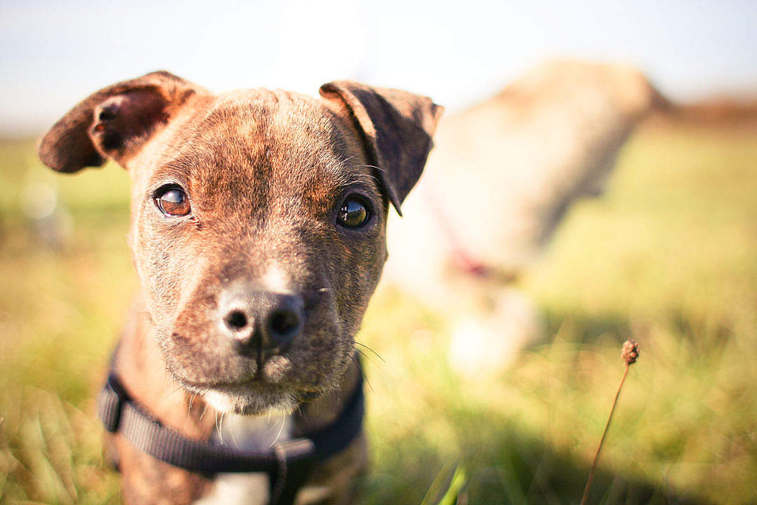 Download Little Pitbull's Look FREE Stock Photo