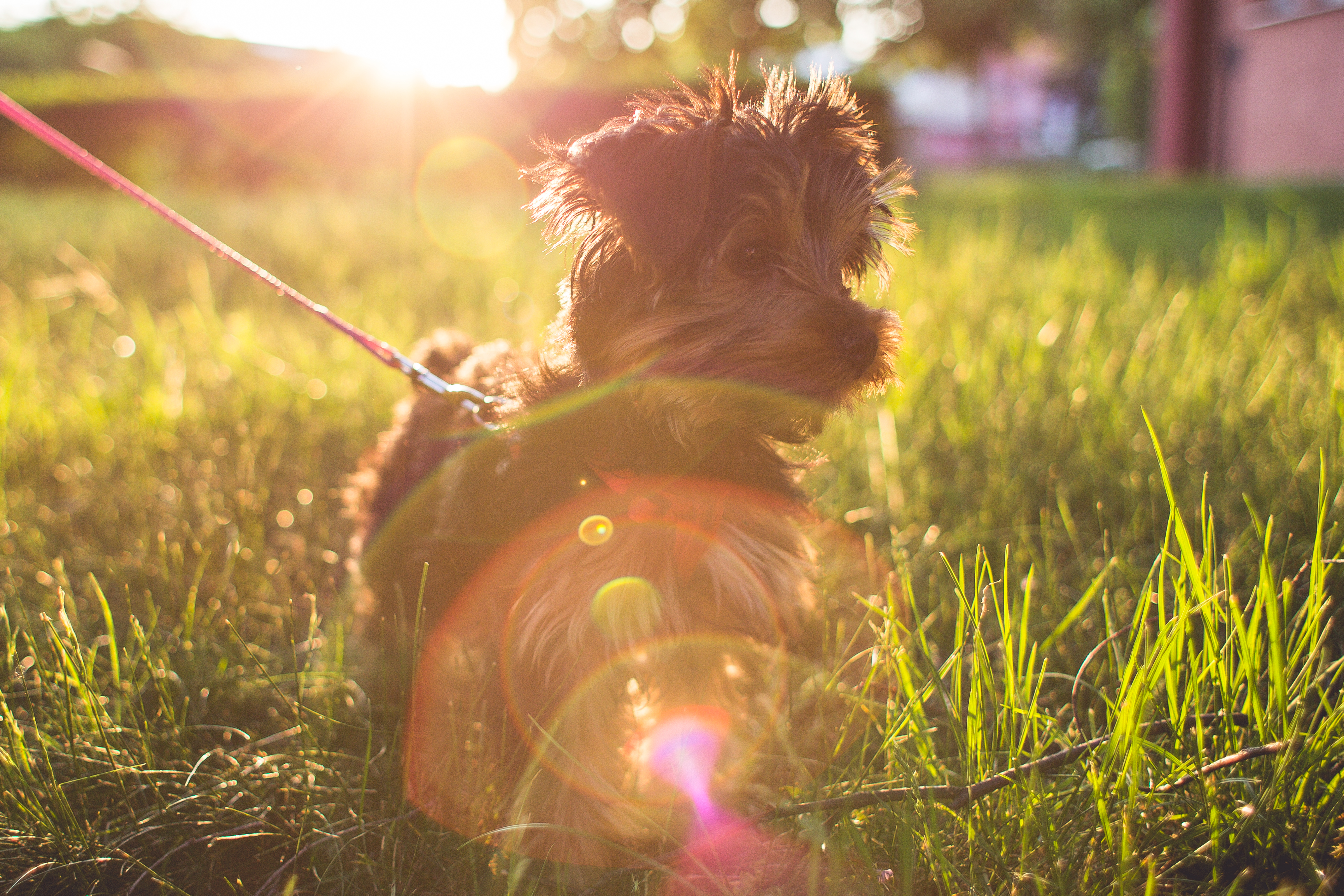 Download Little Yorkshire Terrier in Grass FREE Stock Photo