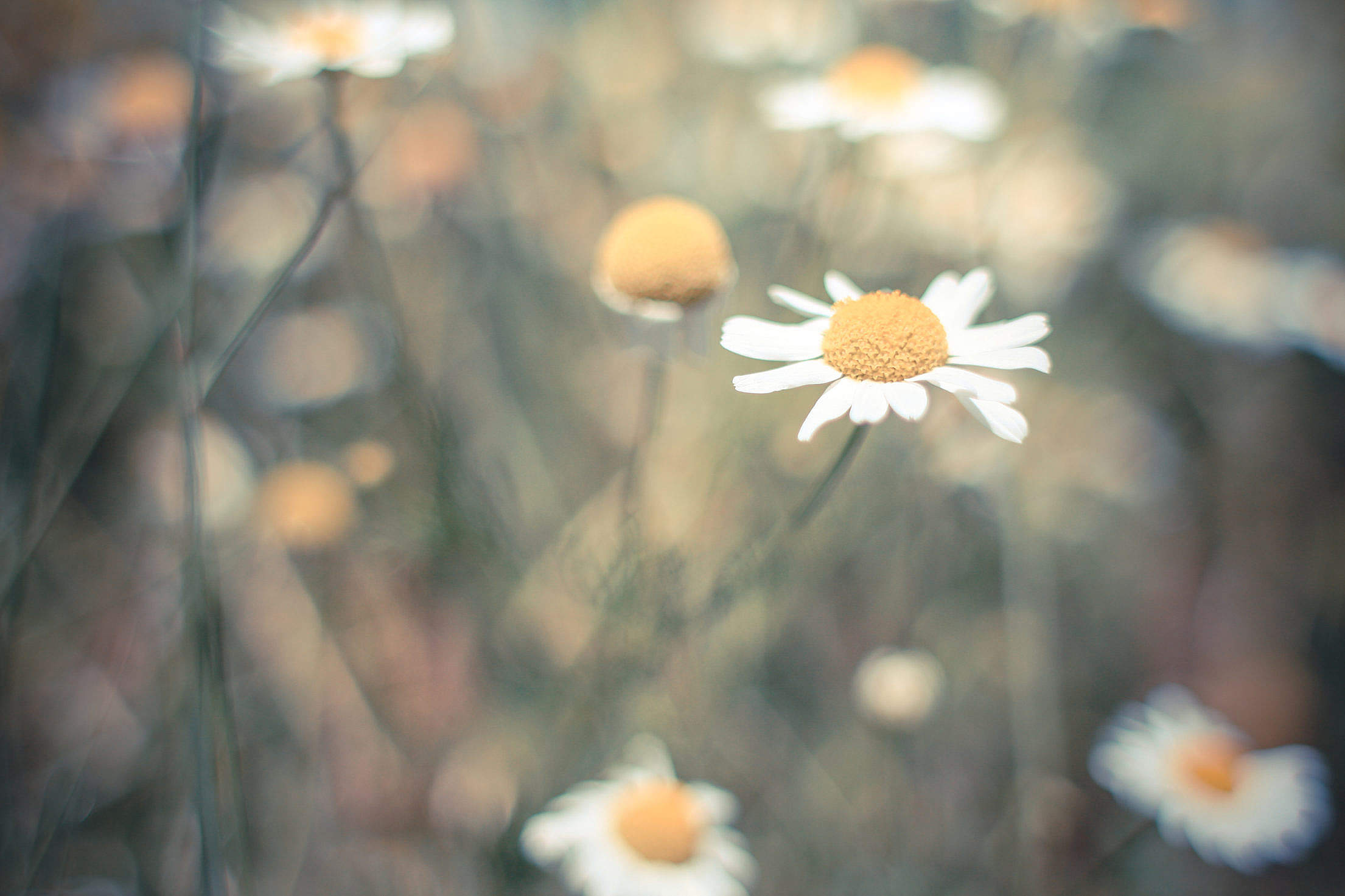 Lonely Daisy Free Stock Photo