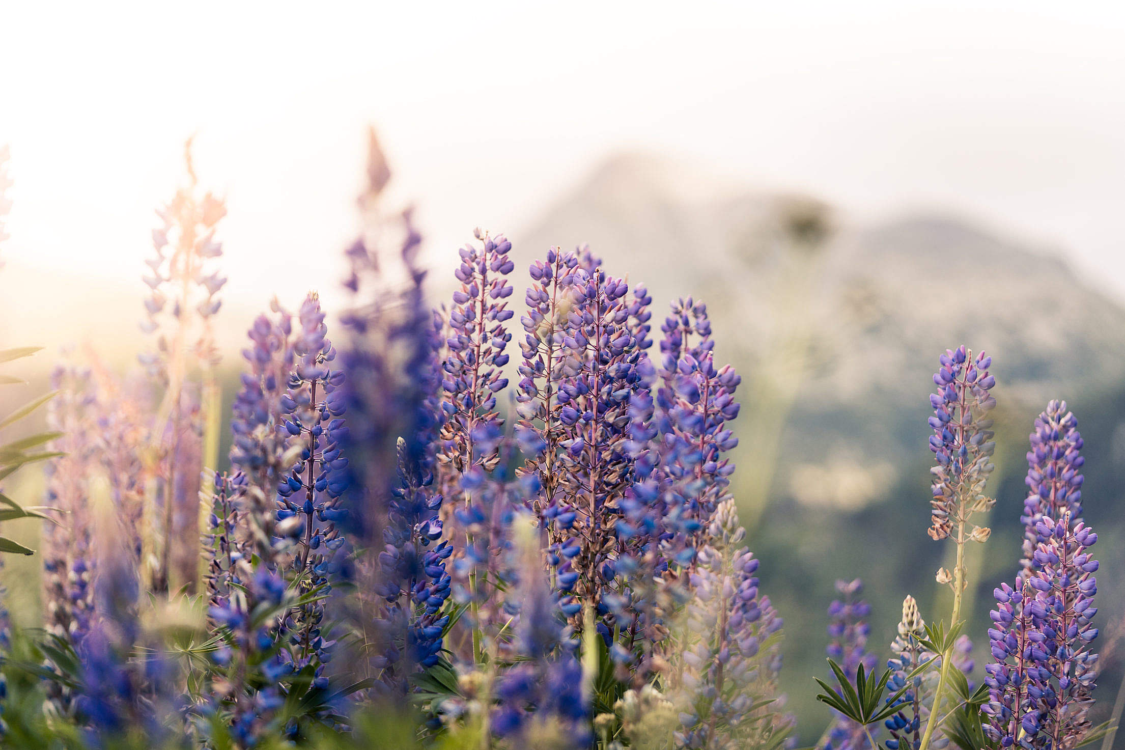 Lupines Mountain Flowers Free Stock Photo