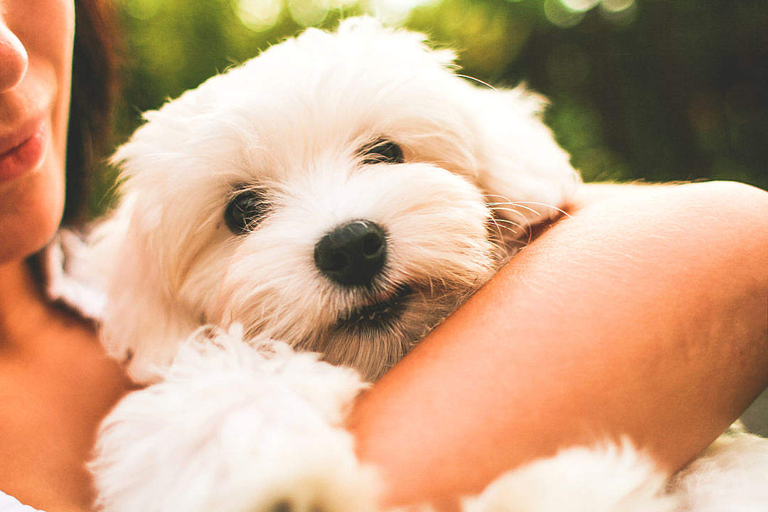 Download Maltese Dog Puppy FREE Stock Photo