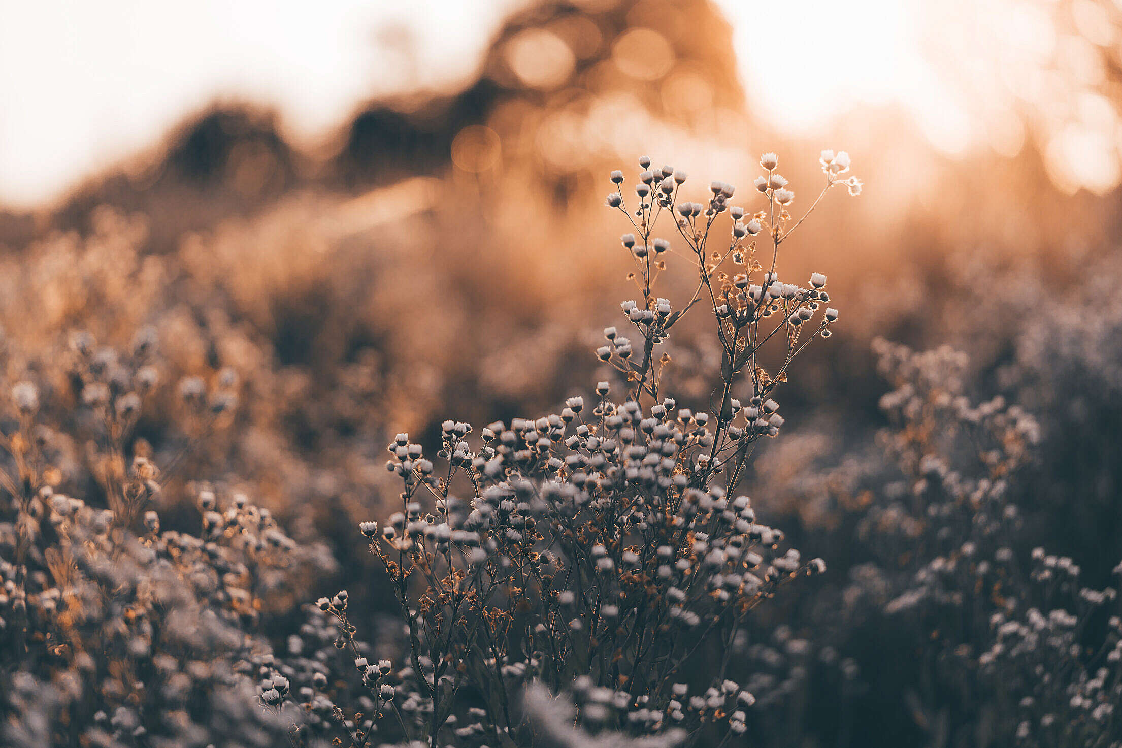 Meadow Grass Against The Golden Hour Sun Free Stock Photo