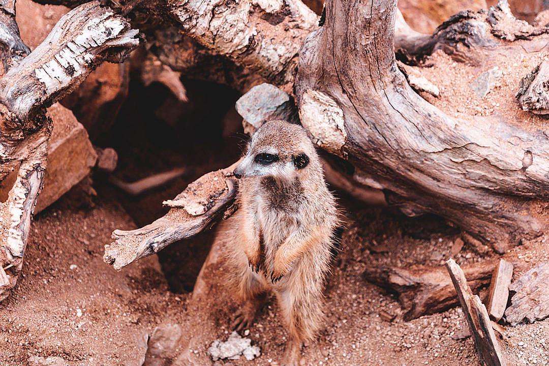 Download Meerkat Waiting Near His Home FREE Stock Photo