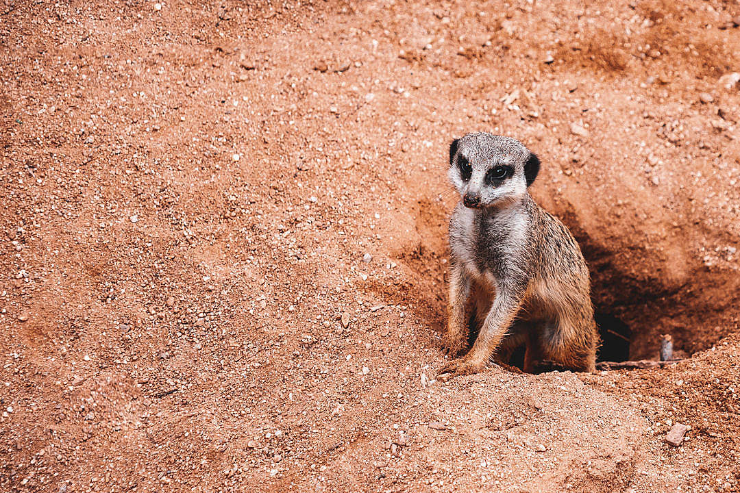 Download Meerkat with Place for Text FREE Stock Photo