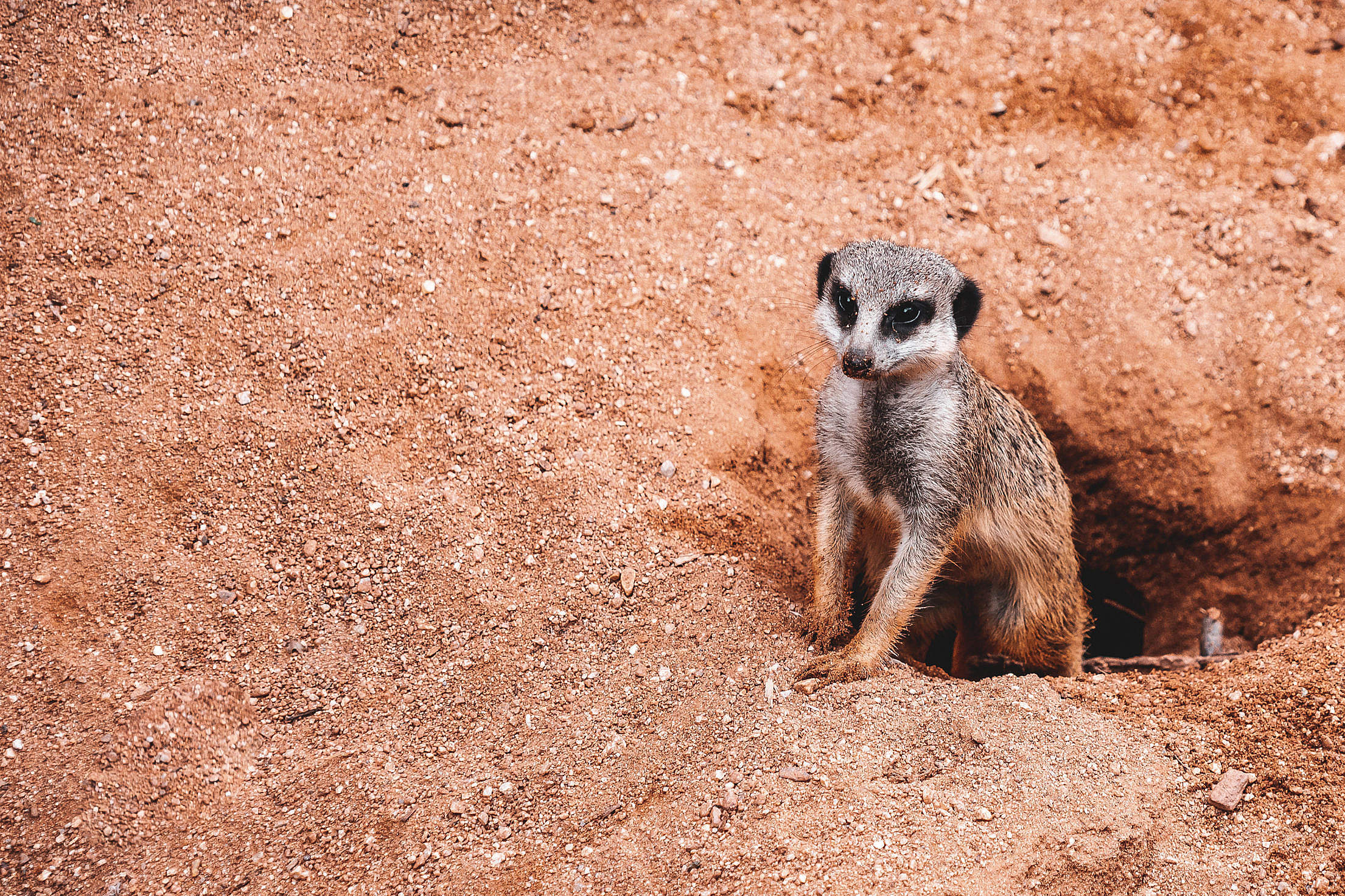 Meerkat with Place for Text Free Stock Photo