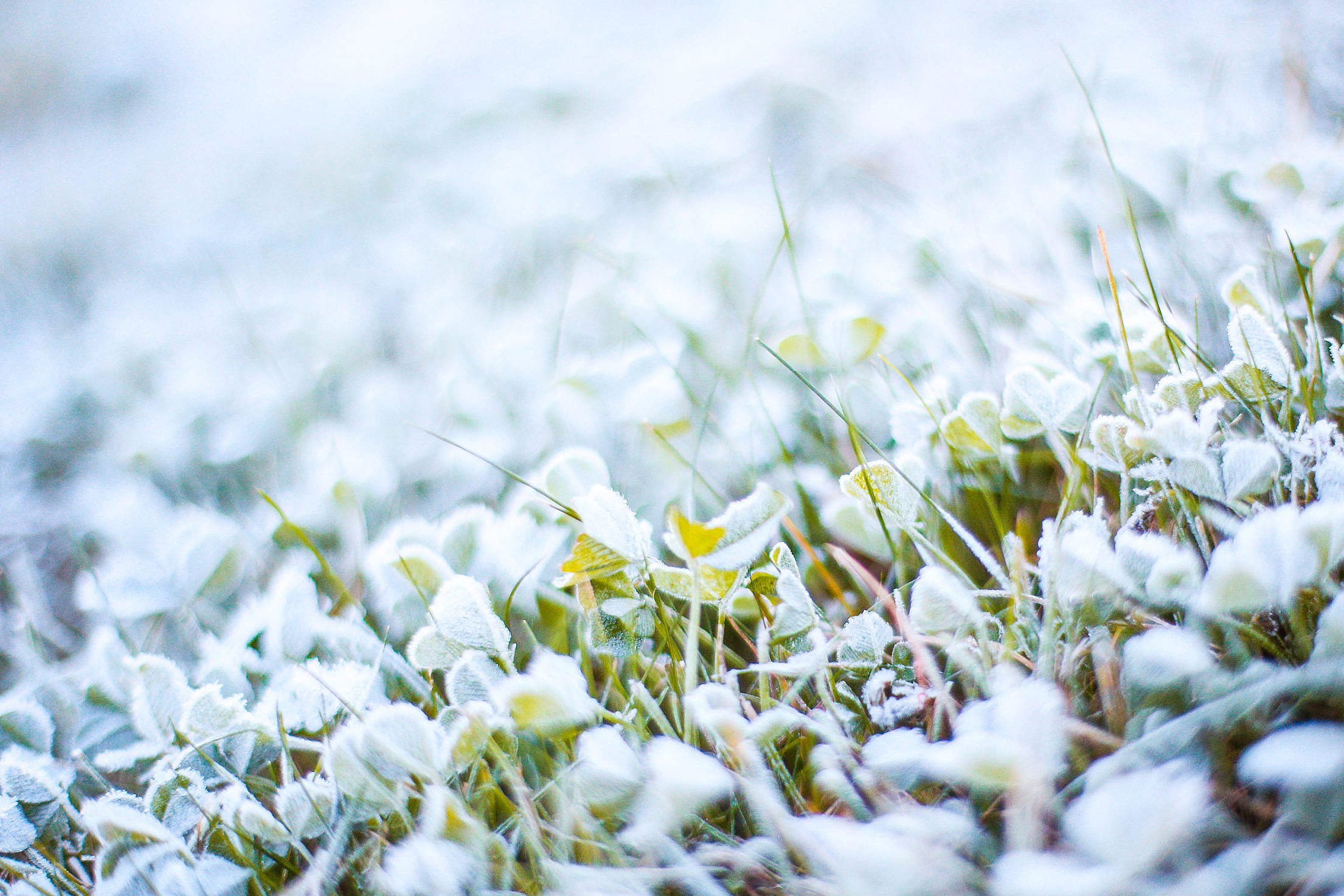 Morning Frozen Grass with Hoarfrost Free Stock Photo