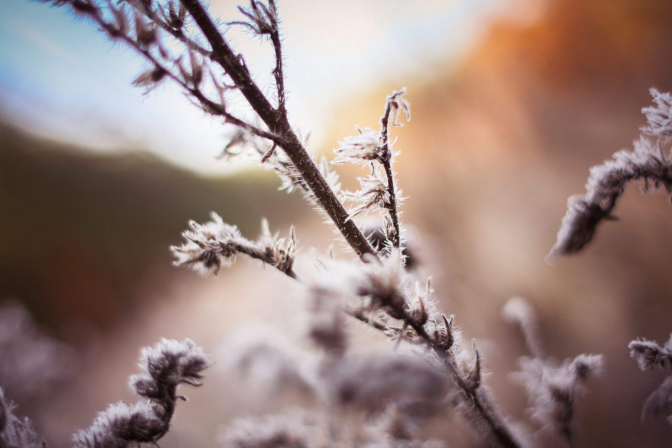 Morning Hoarfrost on a Bush Free Stock Photo