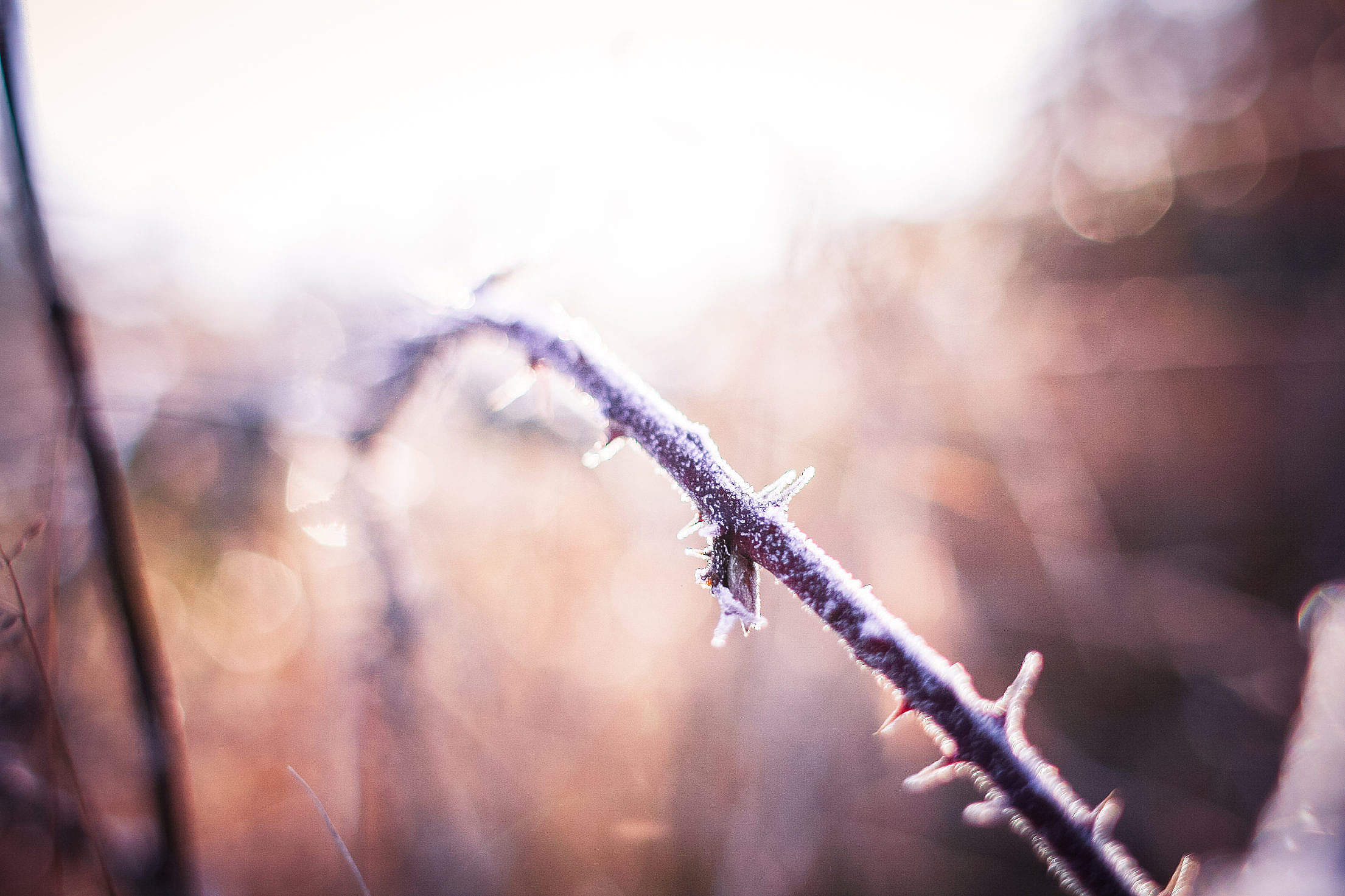 Morning Winter Hoarfrost on a Prickly Bush Free Stock Photo