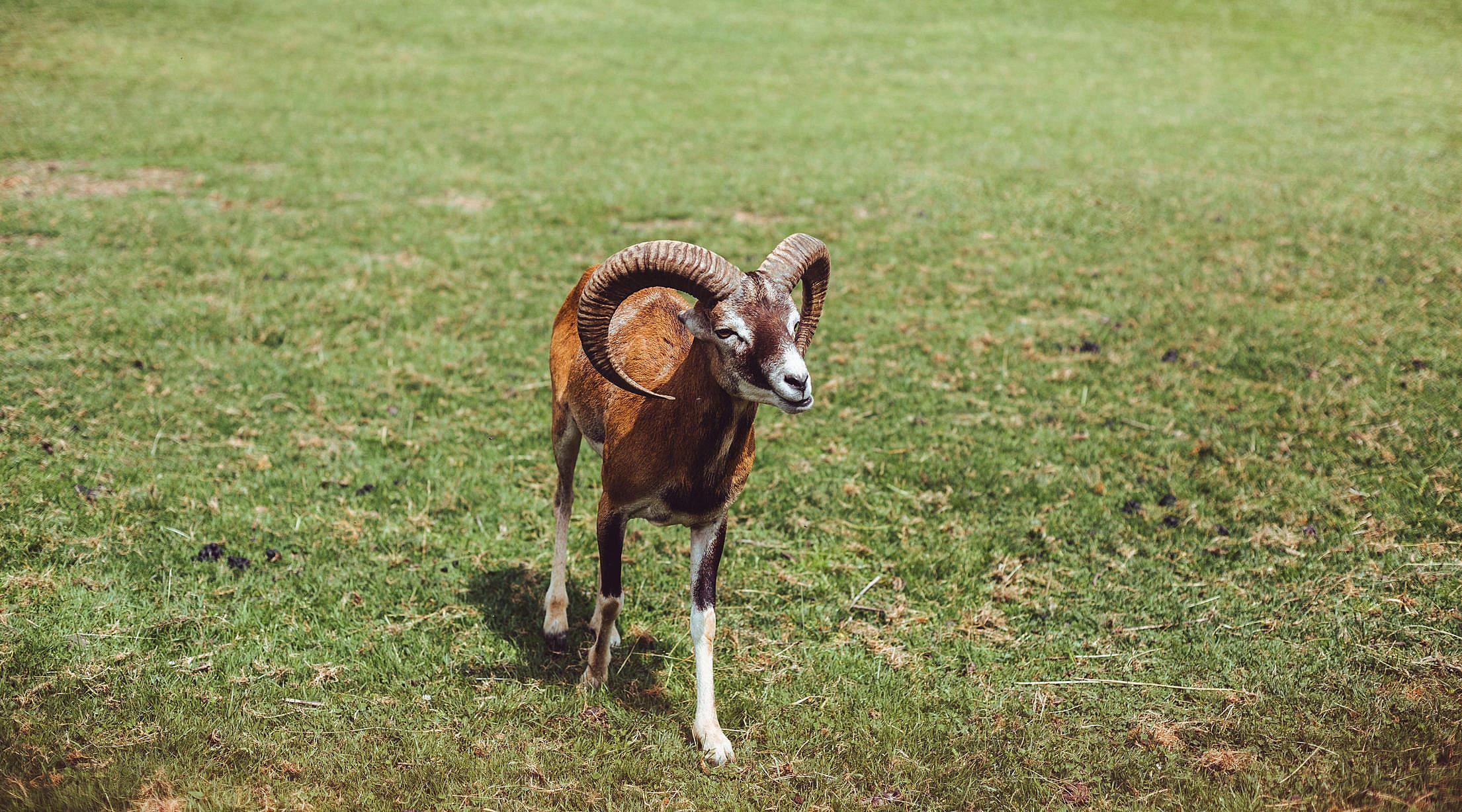 Mouflon on The Grass Free Stock Photo