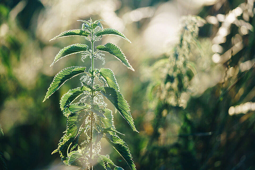 Download Nettle Dioecious FREE Stock Photo