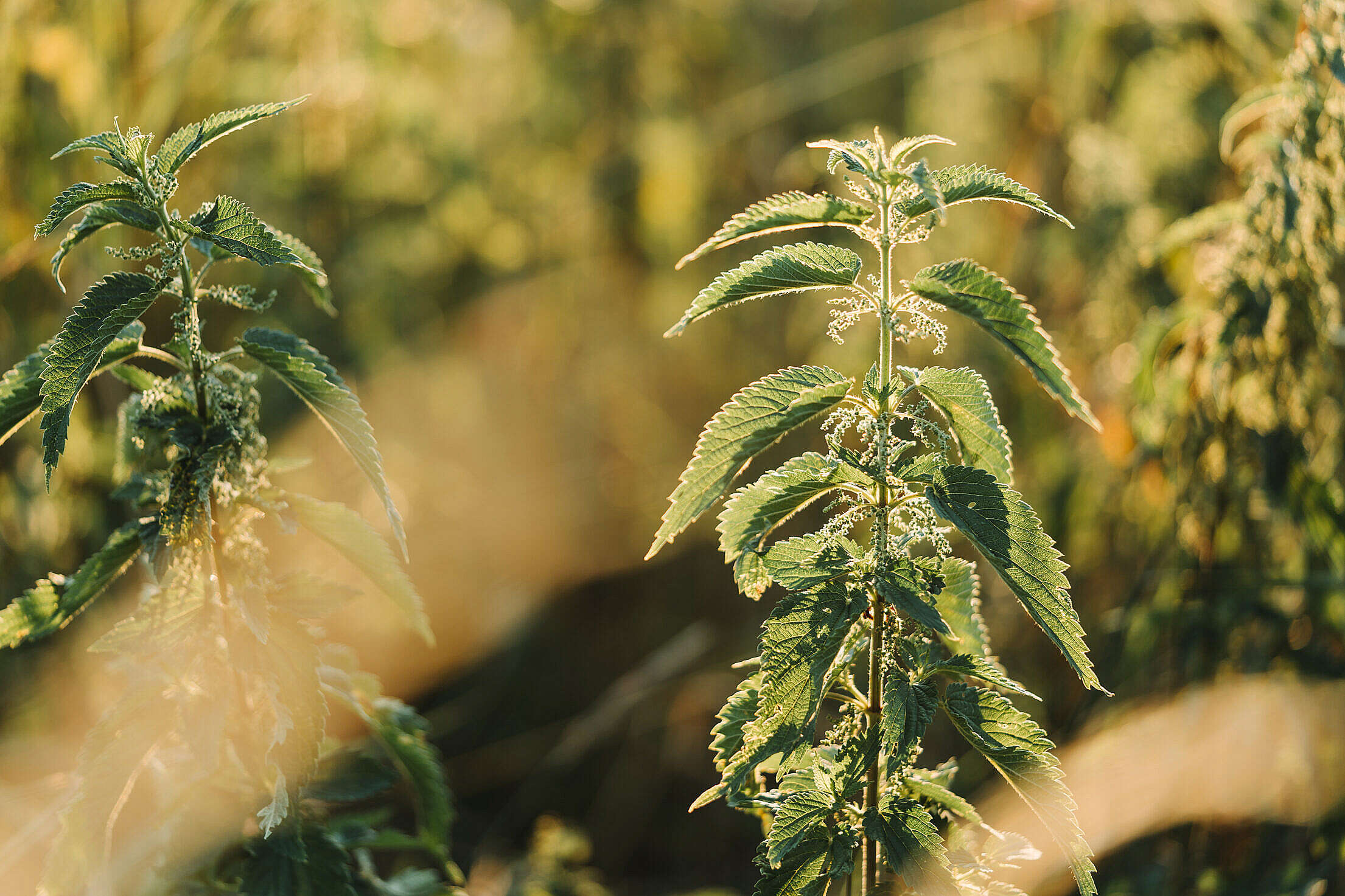 Nettle Dioecious Plant Free Stock Photo