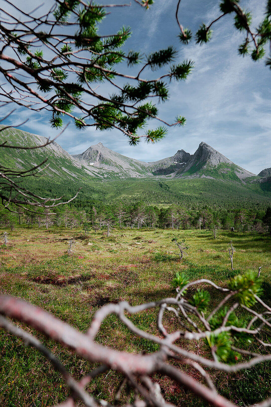 Download Norwegian Pine Forest under the Mountains FREE Stock Photo