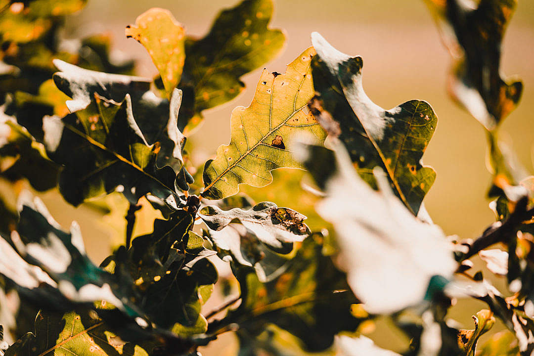 Download Oak Leaves FREE Stock Photo