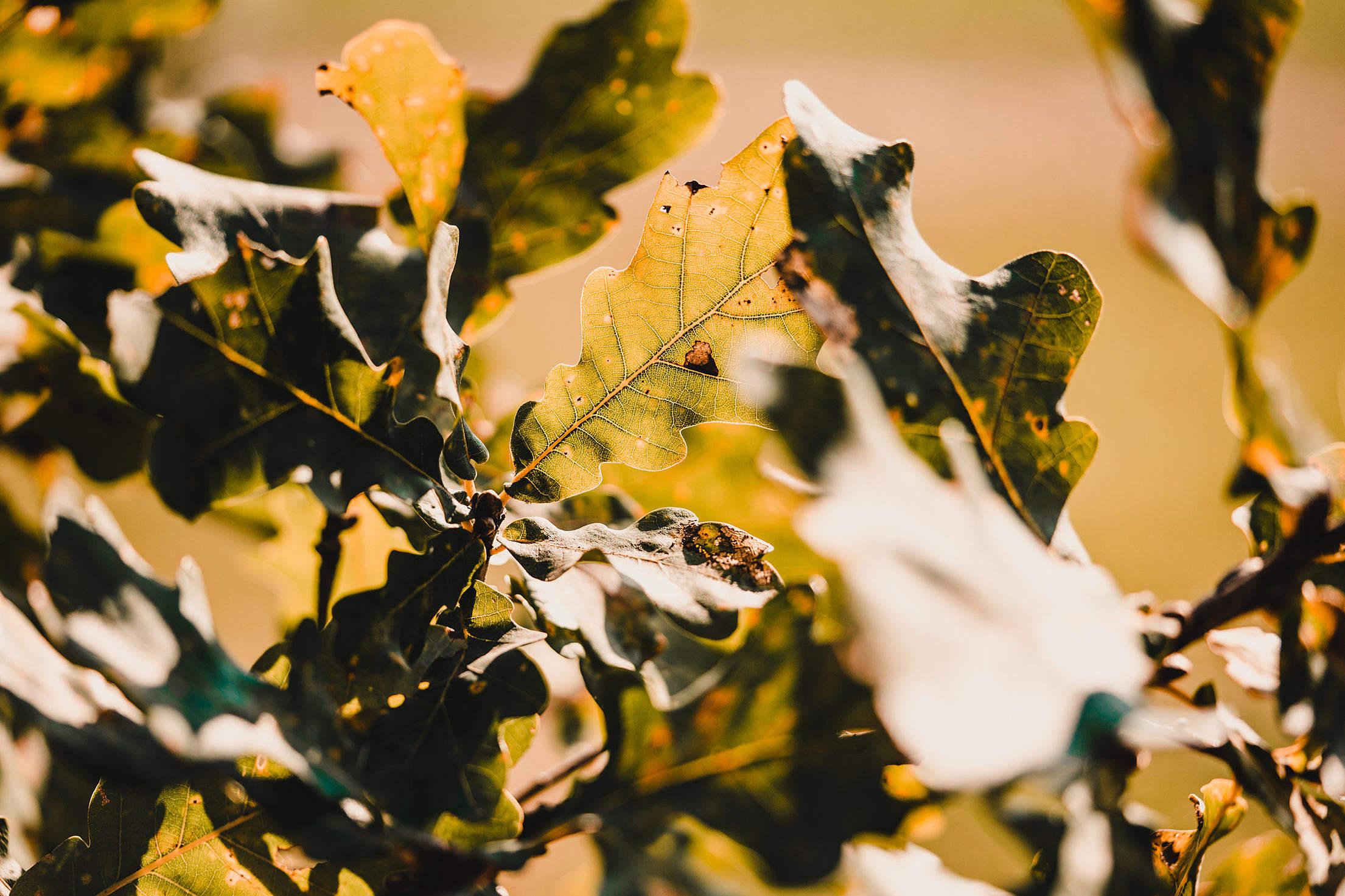 Oak Leaves Free Stock Photo