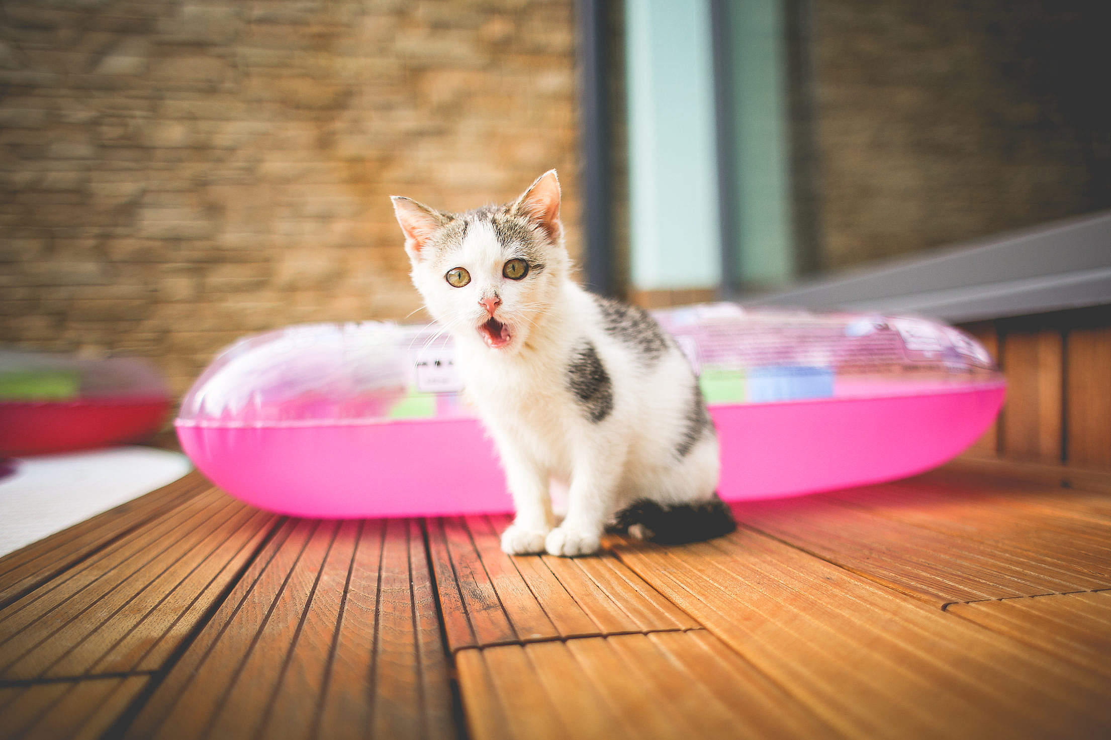 One Little Angry Cat Free Stock Photo