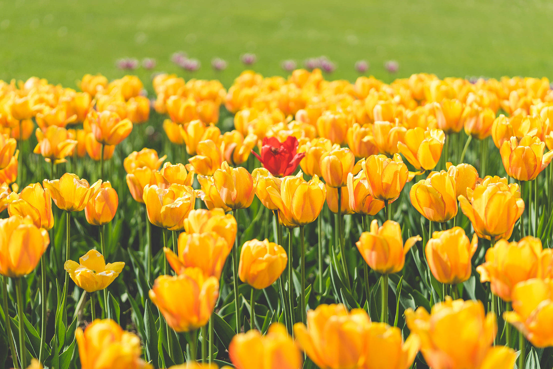 One Red Tulip Flower Surrounded by Yellow Tulips Free Stock Photo